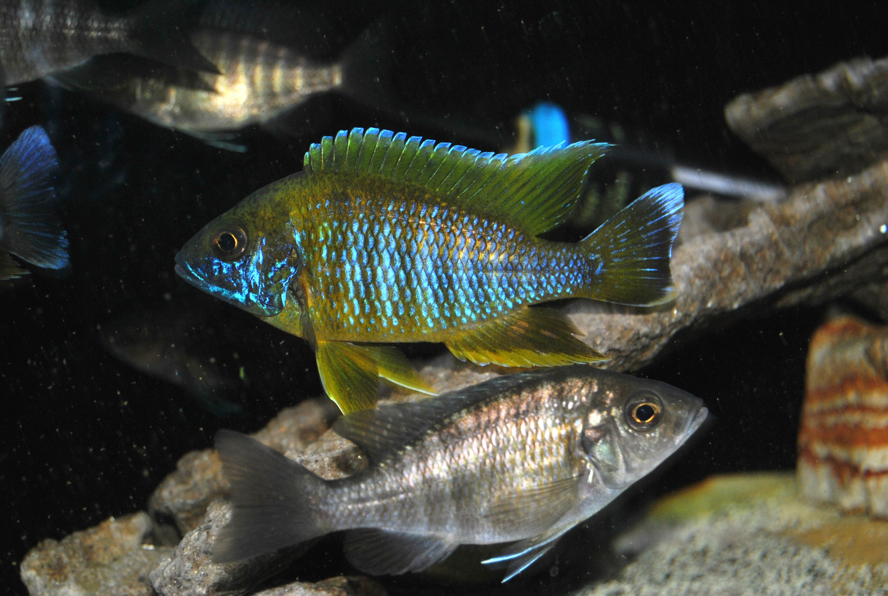 lemon jake peacock cichlid - photo #34