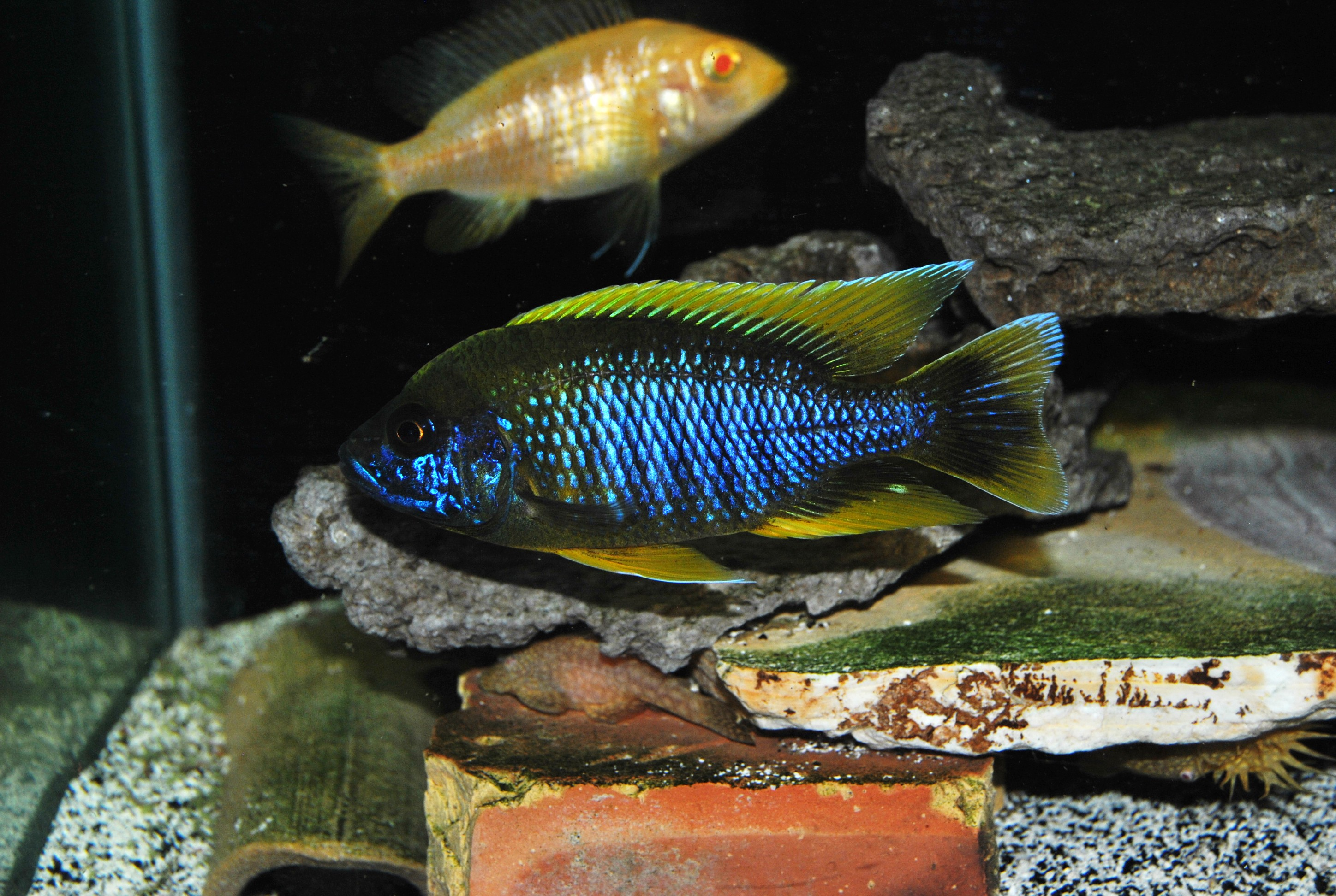lemon jake peacock cichlid - photo #43