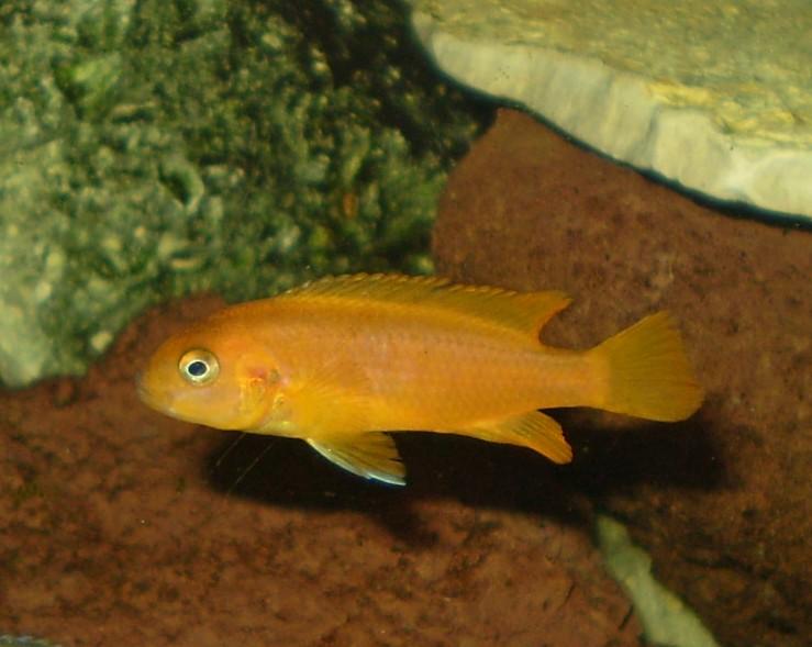 cichlids.com: saulosi red coral