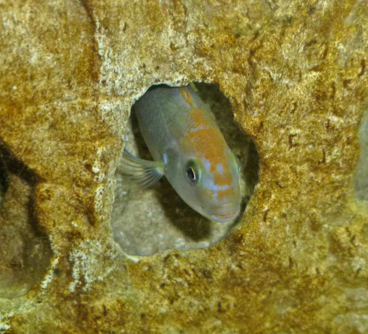 cichlids.com: red top ndumbi male