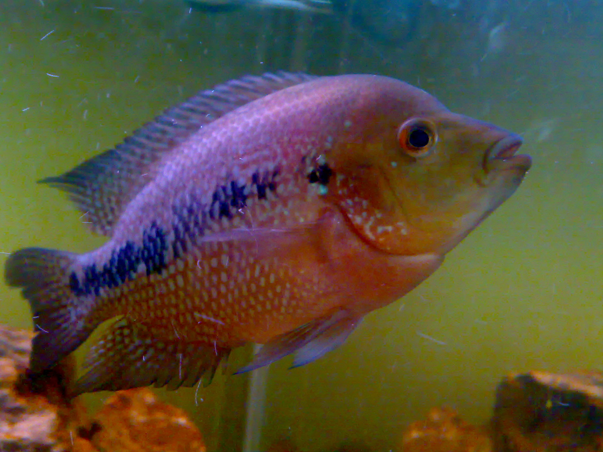 Flowerhorn for Flower horn fish price