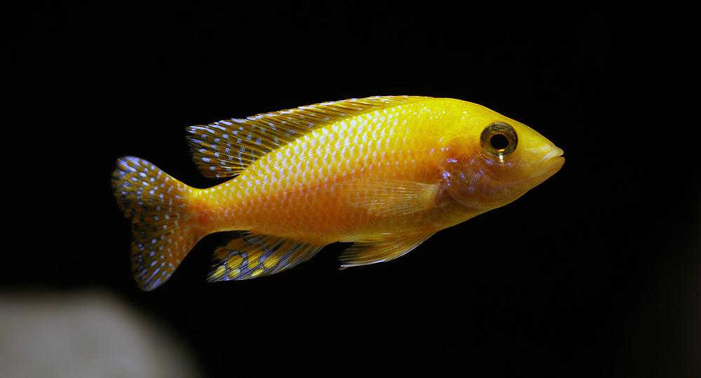 yellow cichlid fish - photo #26