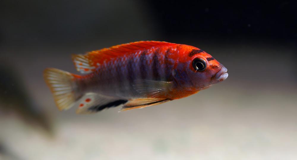 cichlids.com: Red Hongi
