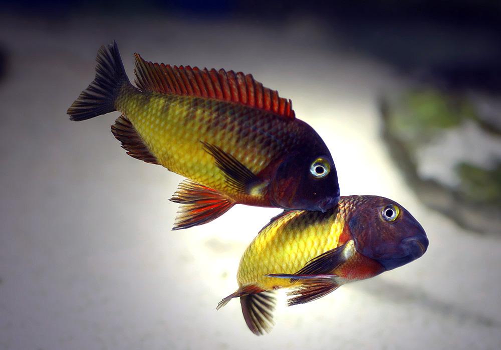Tropheus moorii ilangi tropheus pinterest for Cichlid fish for sale