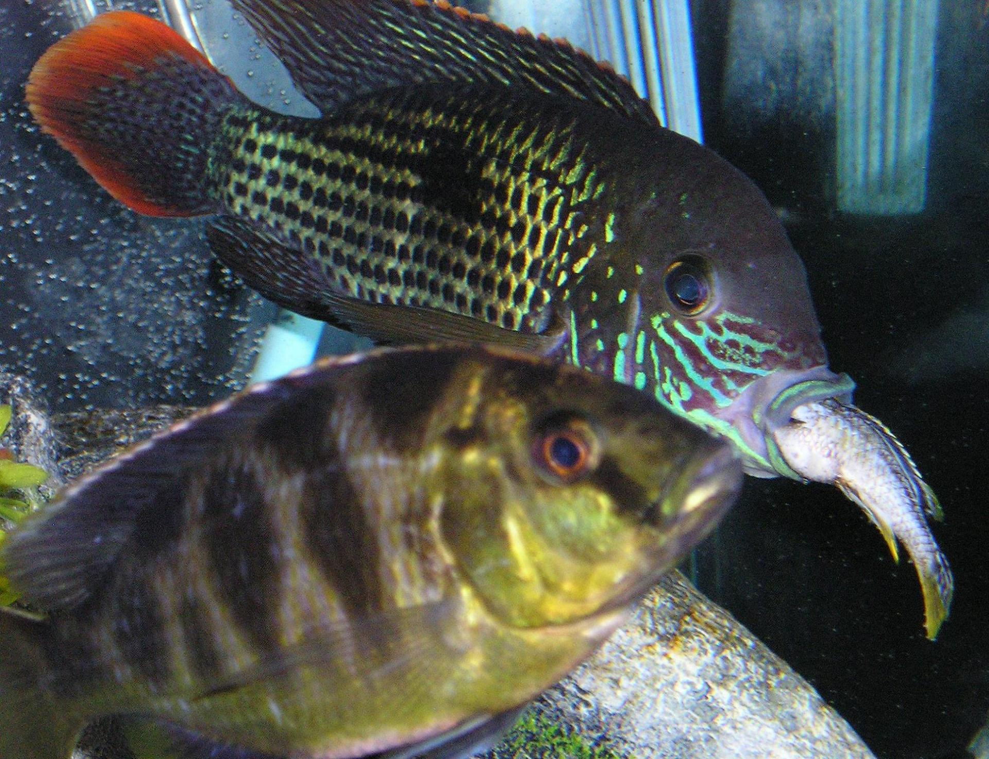 cichlids.com: my Green Terror eating one my cichlids
