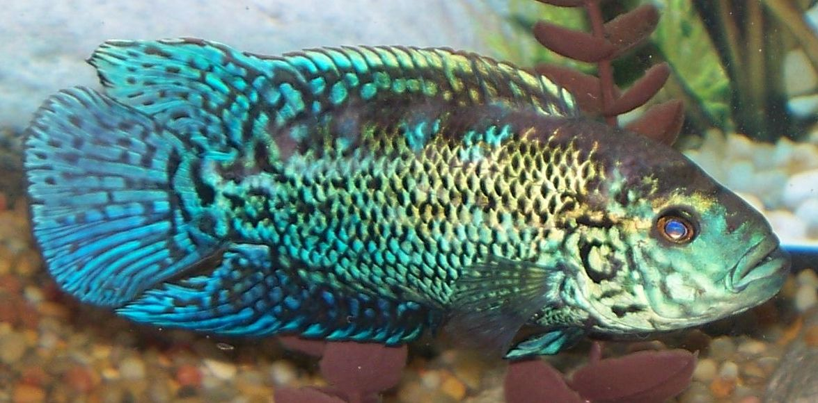 cichlids.com: Male Electric Blue Jack Dempsey
