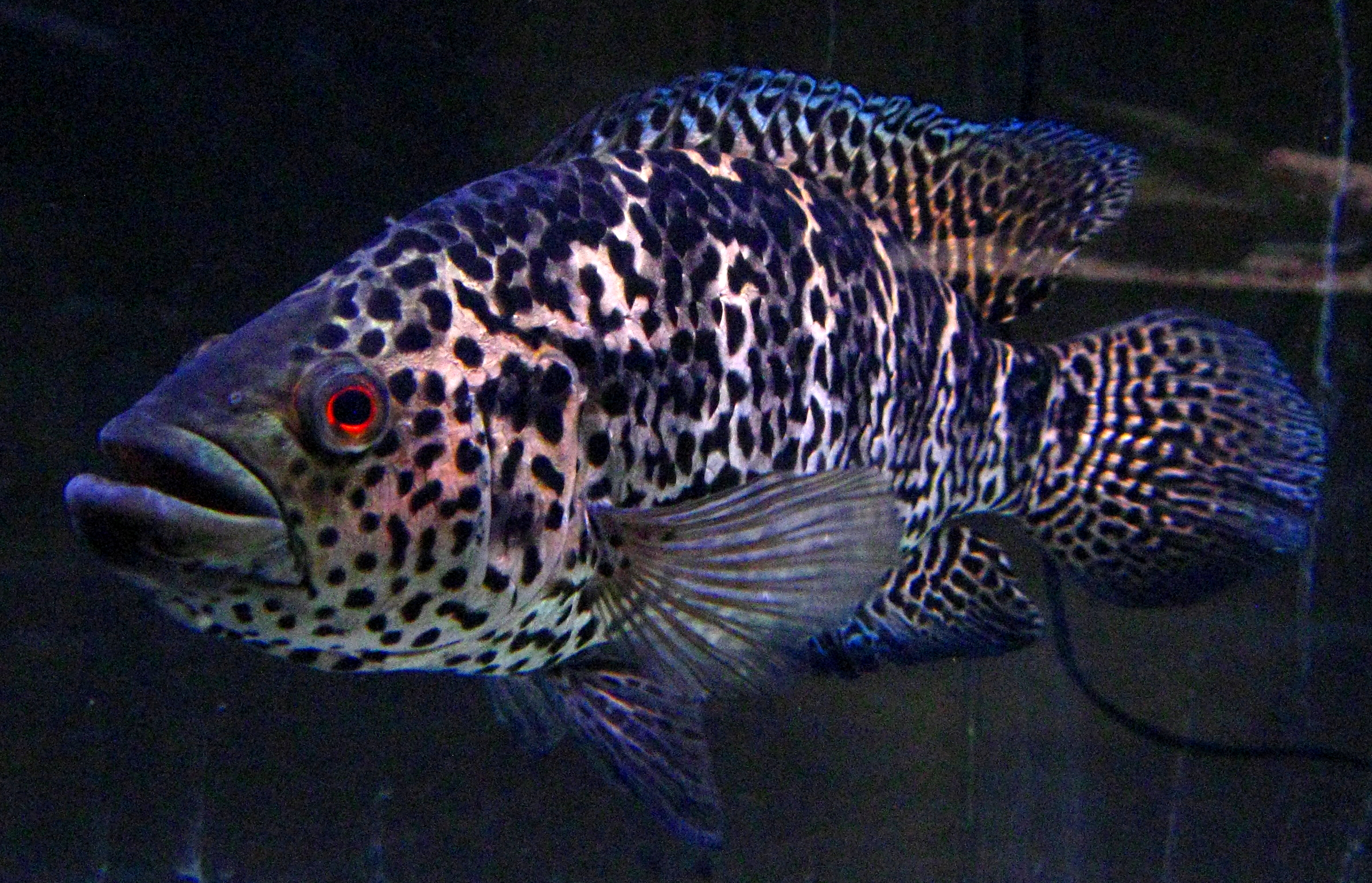 Dr Seuss Name Tag Template moreover Zebra Fish Danio Rerio additionally Oscar  fish also Guppy Fish likewise Shark Tale. on oscar fish eggs