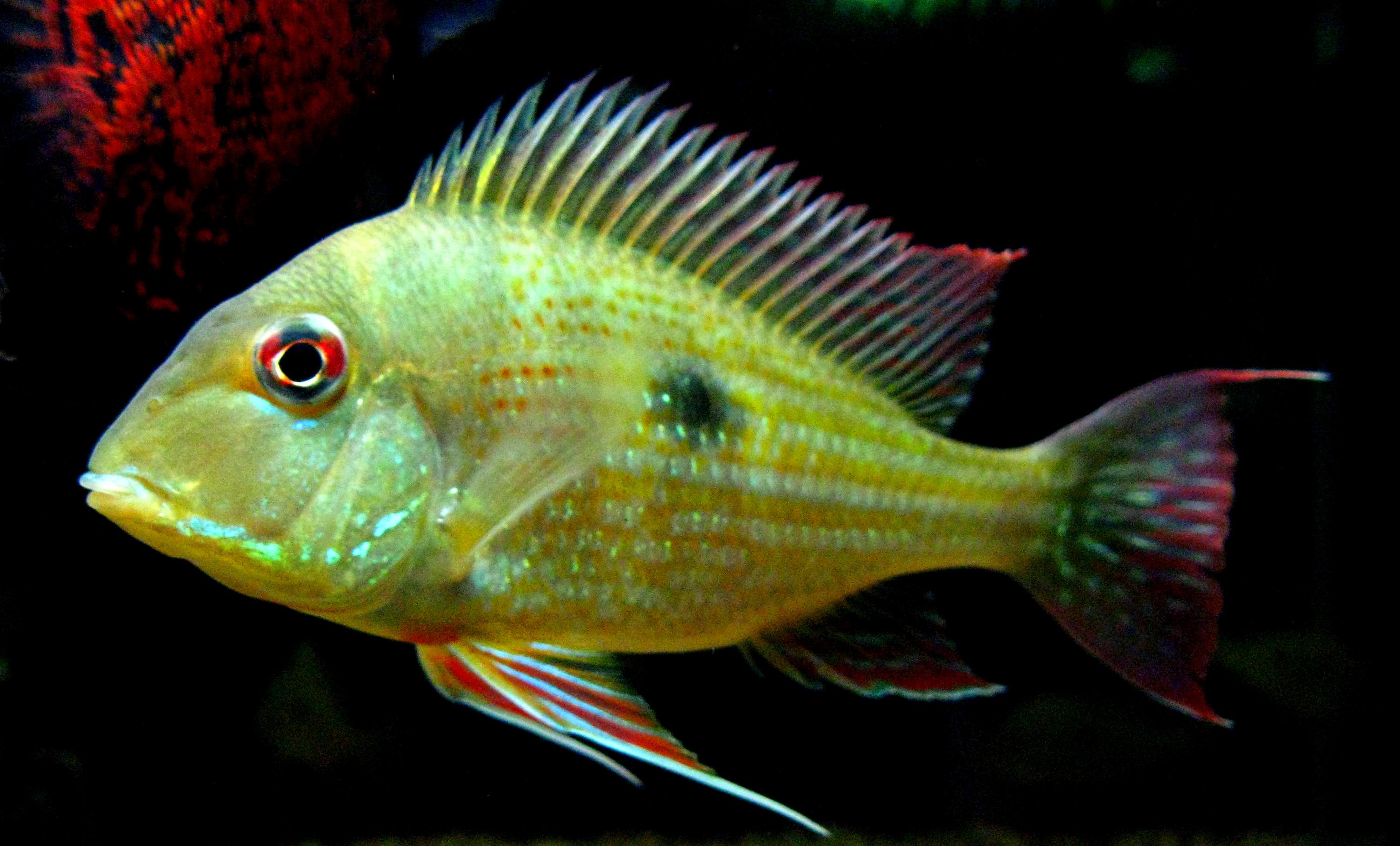 cichlids.com: surinamensis