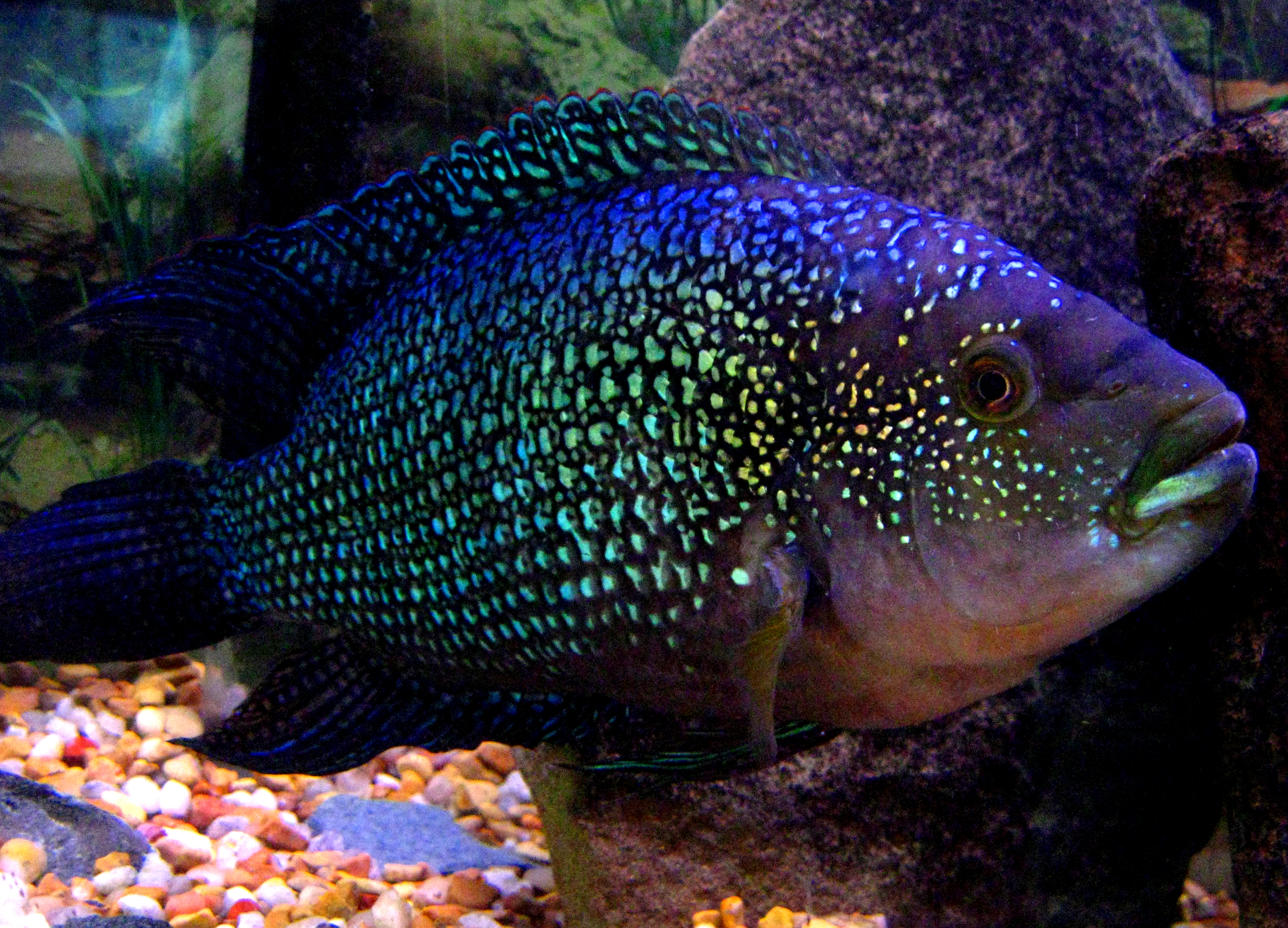 Jack dempsey for Jack dempsey fish