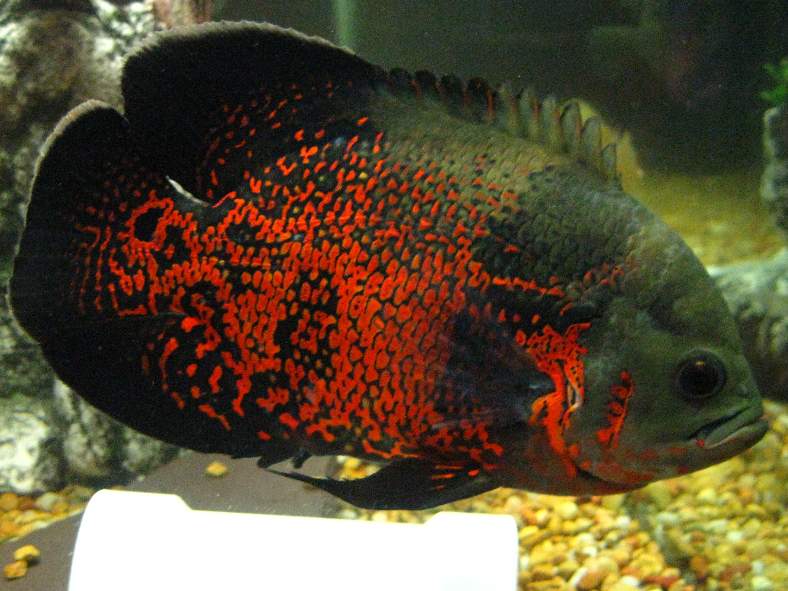 Red tiger oscar for What is an oscar fish