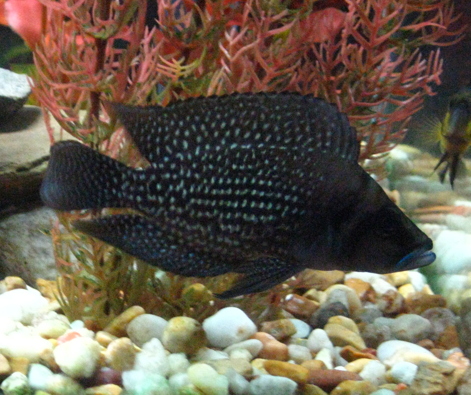 "Картинки по запросу Altolamprologus calvus ""Congo Black Pectoral"""