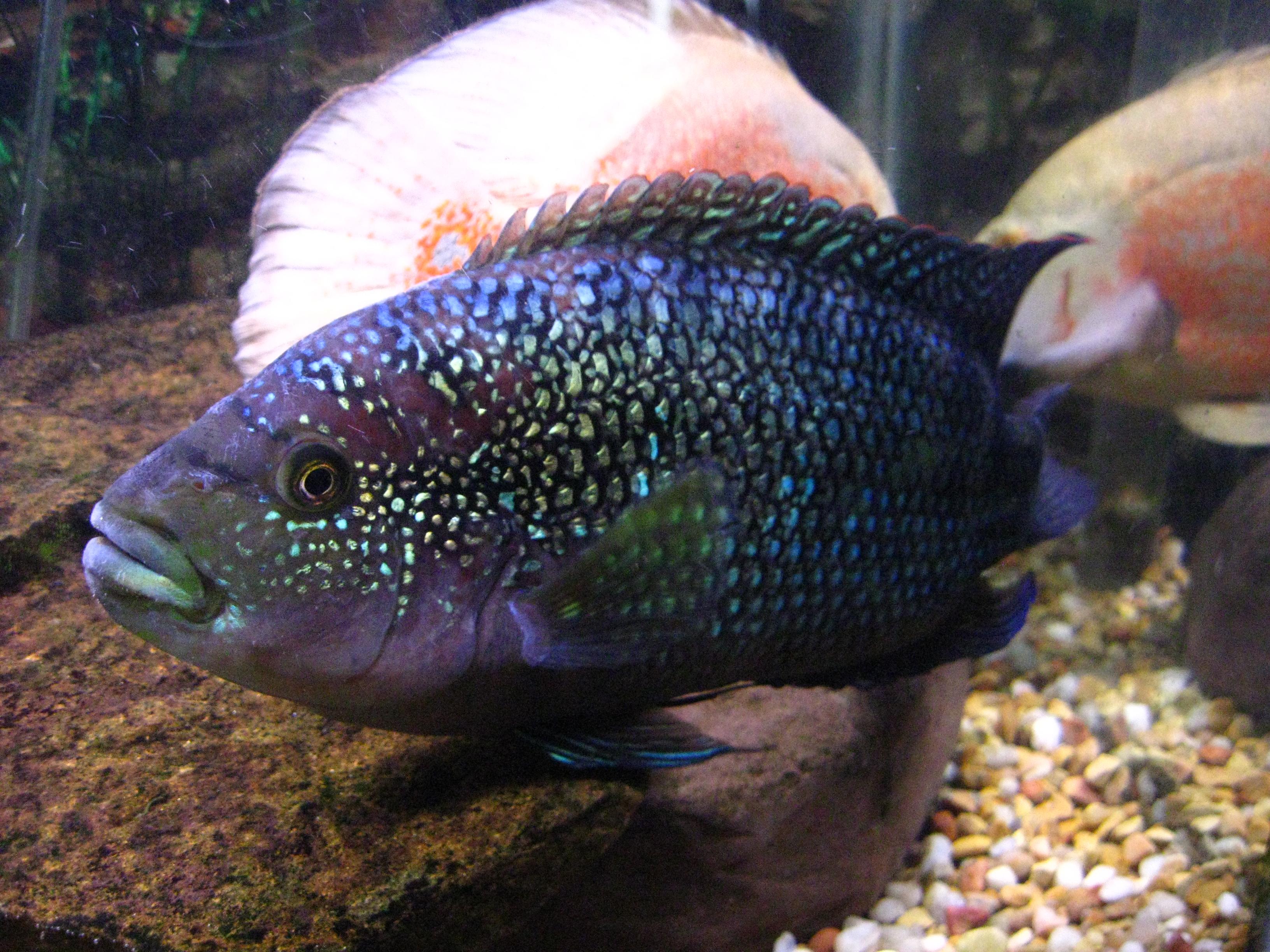 Jack dempsey cichlid for Jack dempsy fish