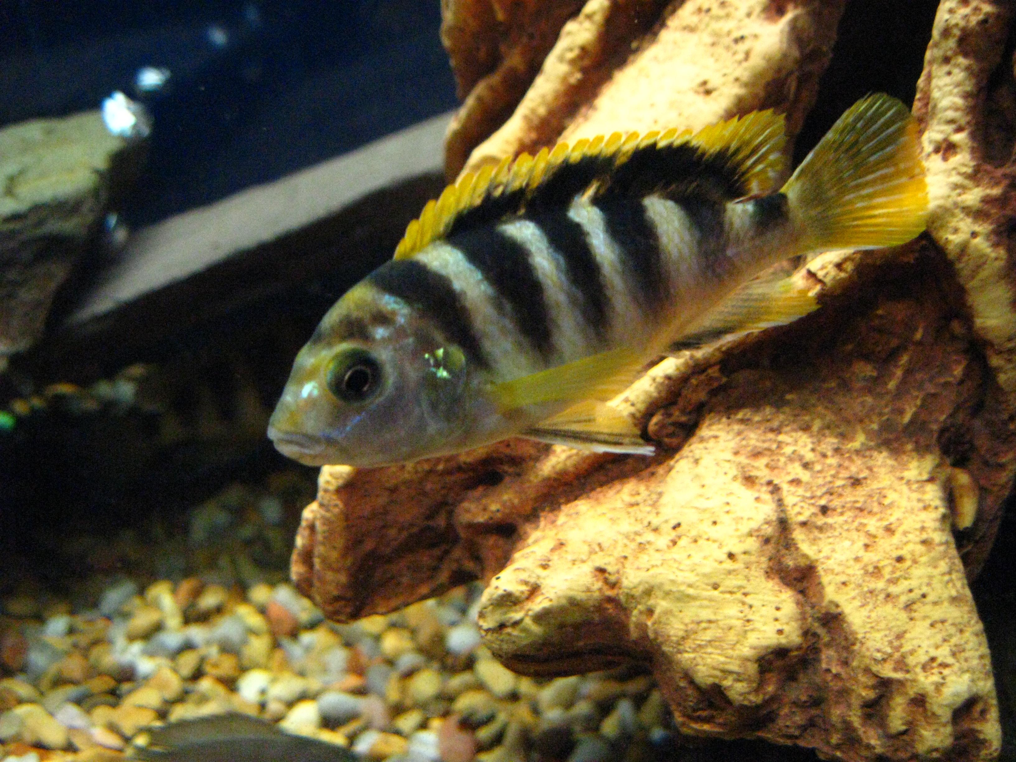 Labidochromis sp.