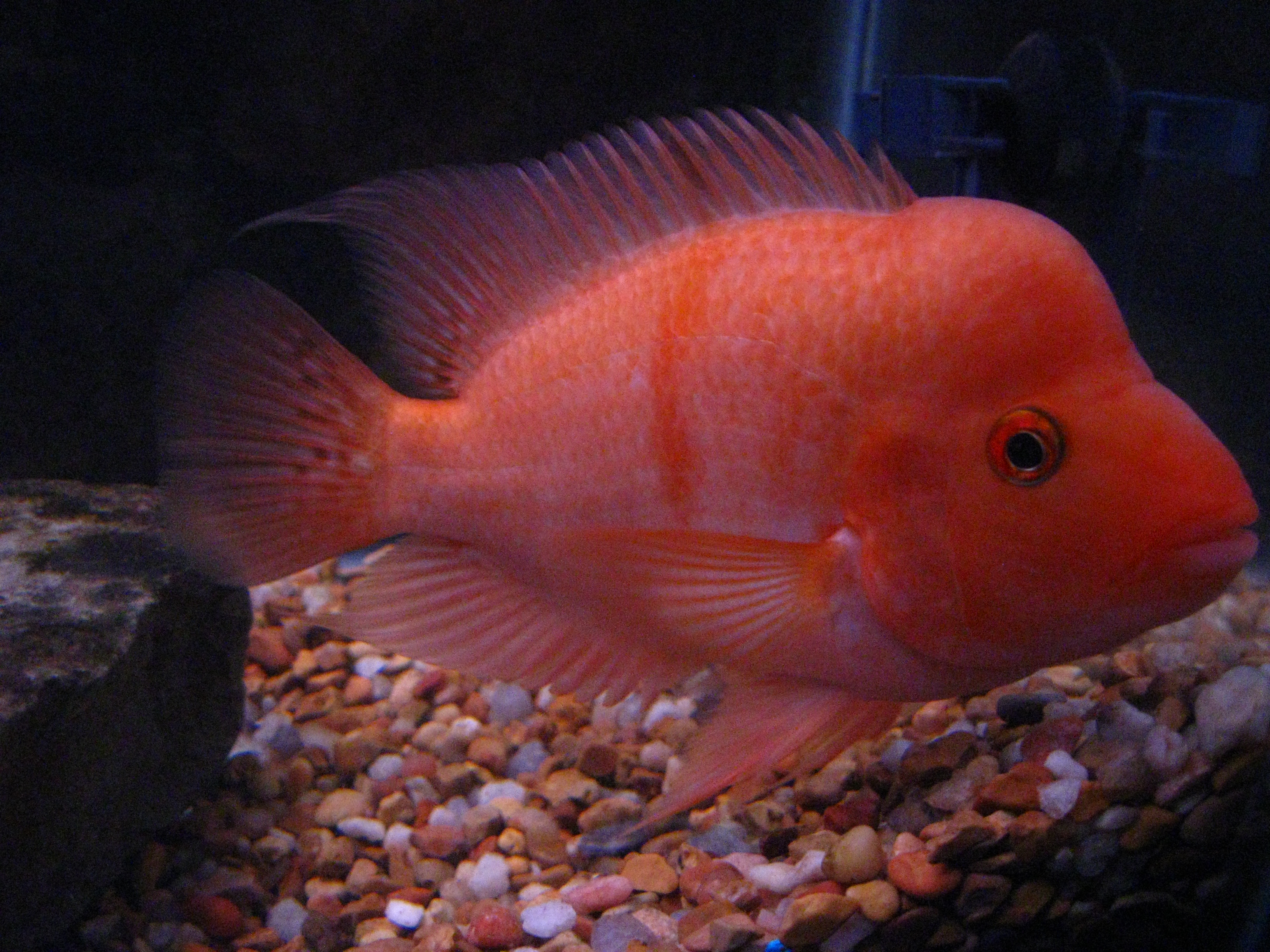 404 not found for Red devil fish