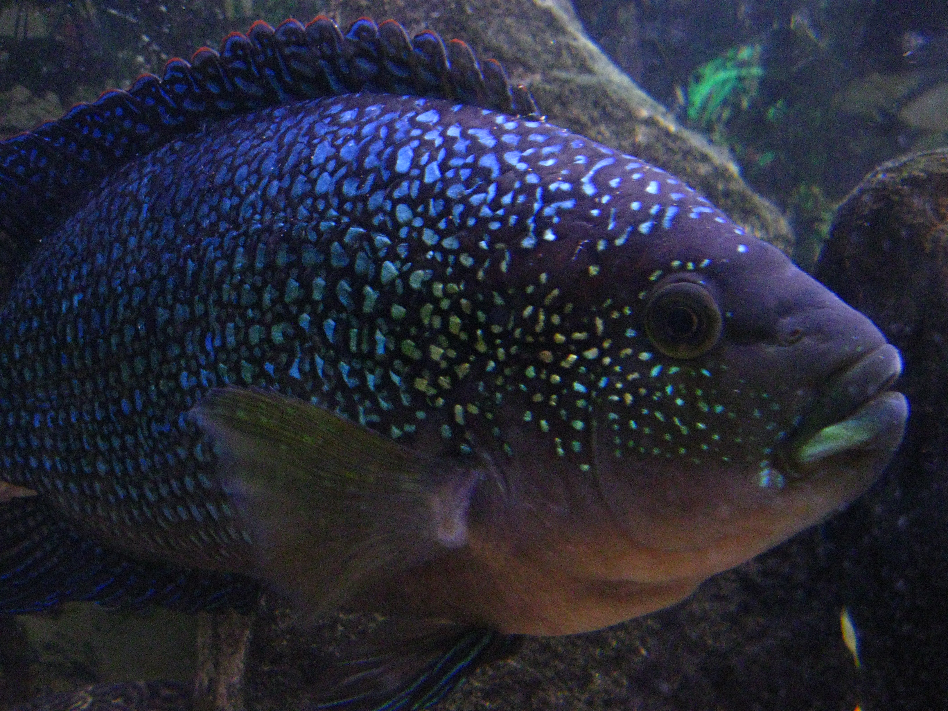 Male jack dempsey cichlid for Jack dempsey fish