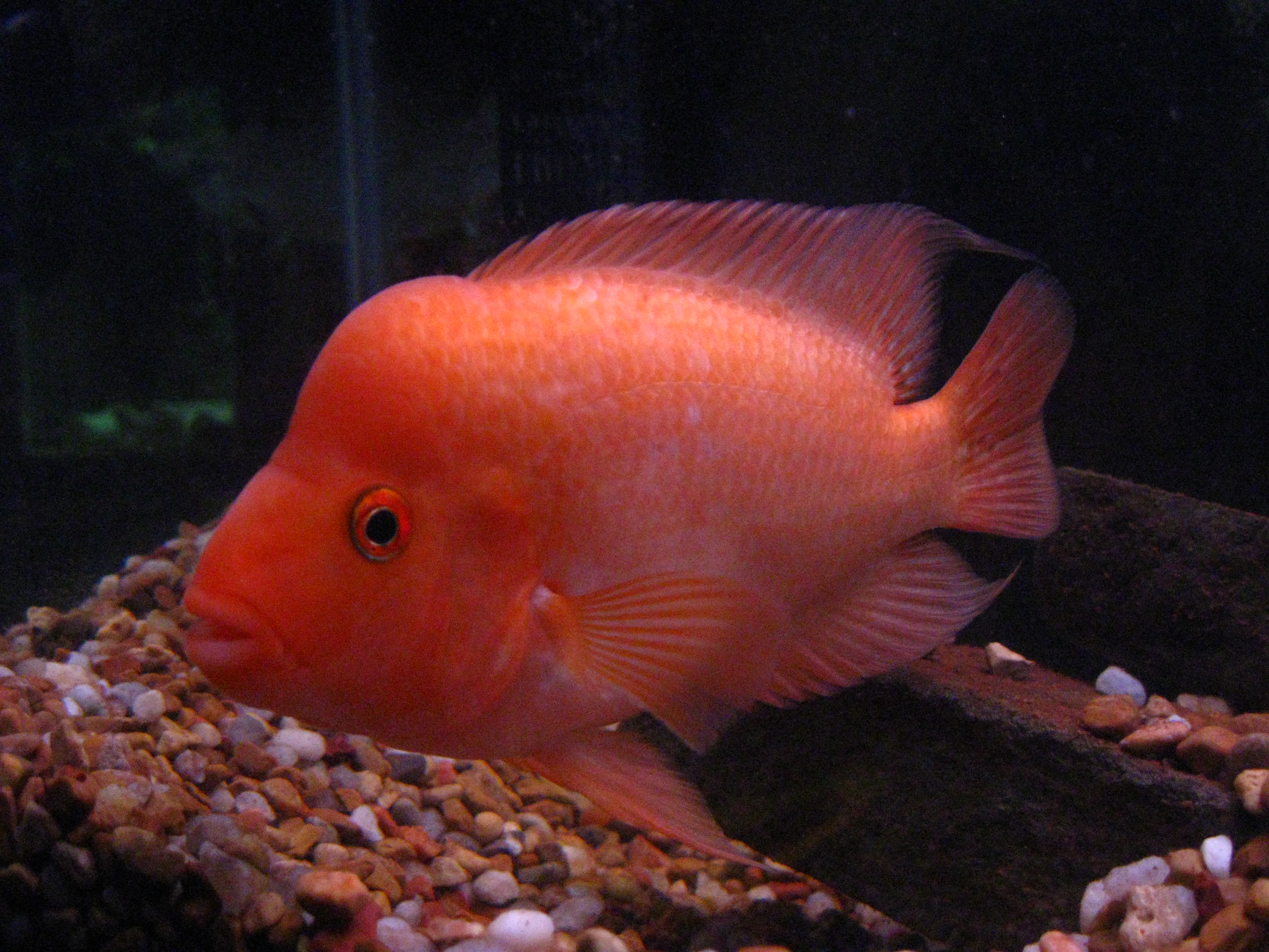 404 not found for Red devil fish for sale