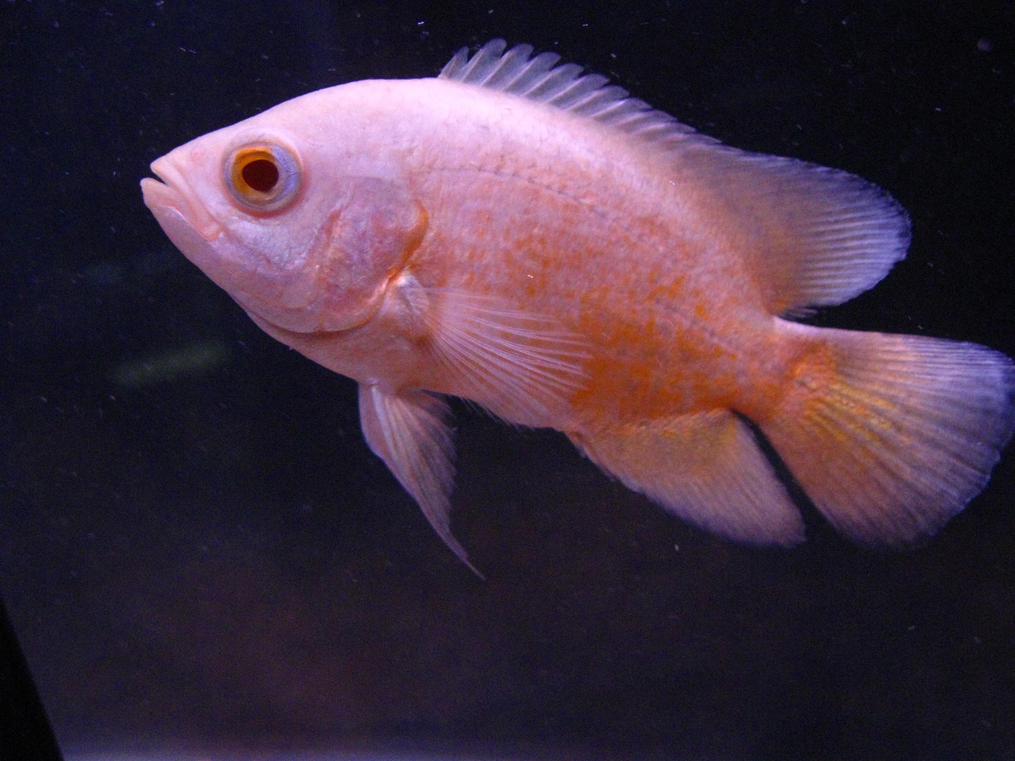 lemon oscar fish - photo #10