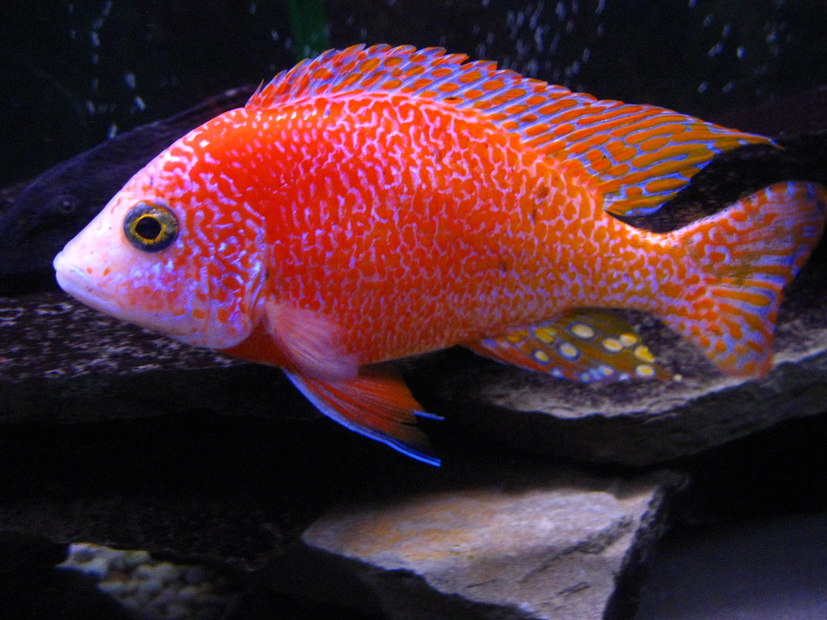 cichlids.com: dragon blood peacock