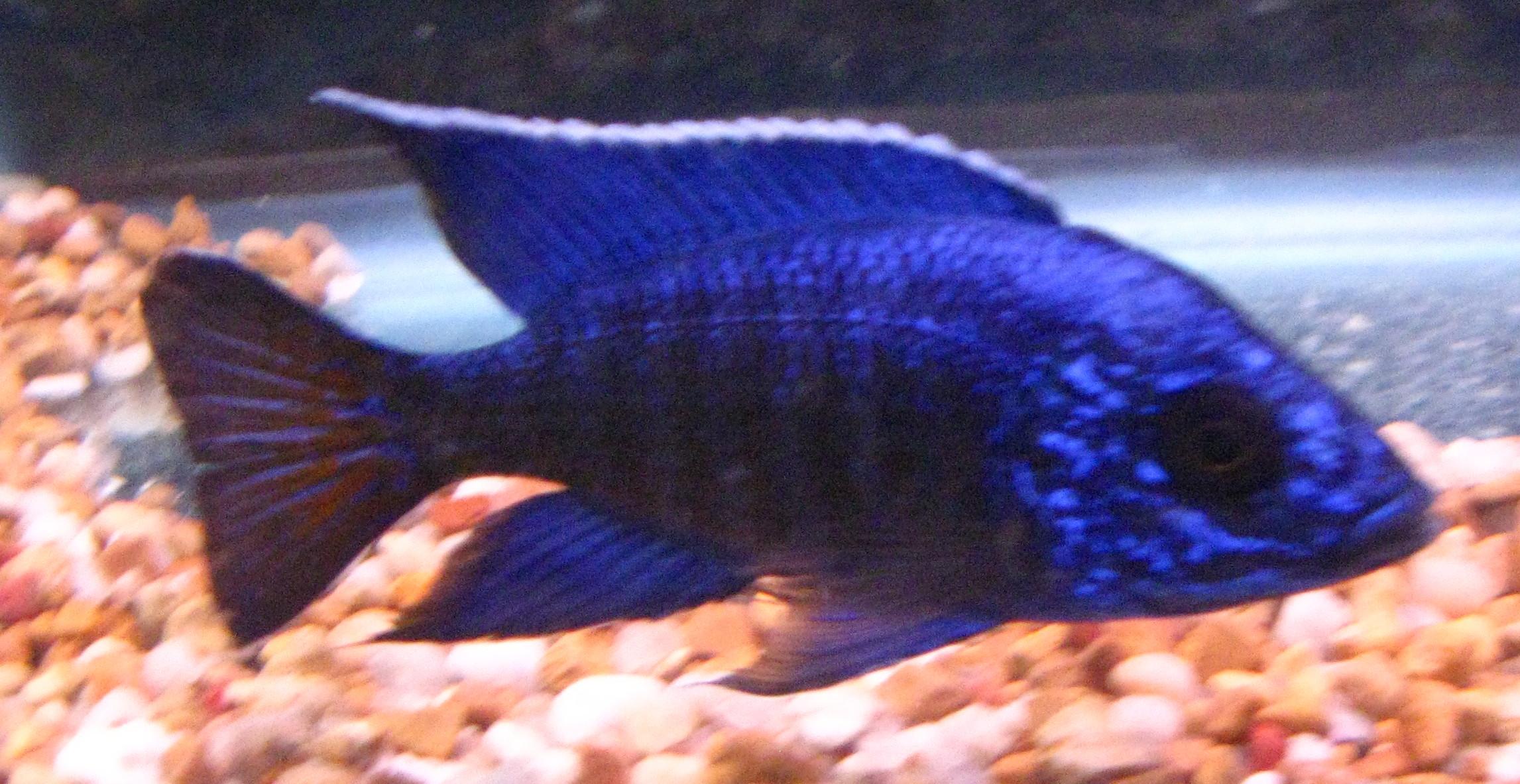 cichlids.com: Peacock --- Mbenji 'Blue Regal'