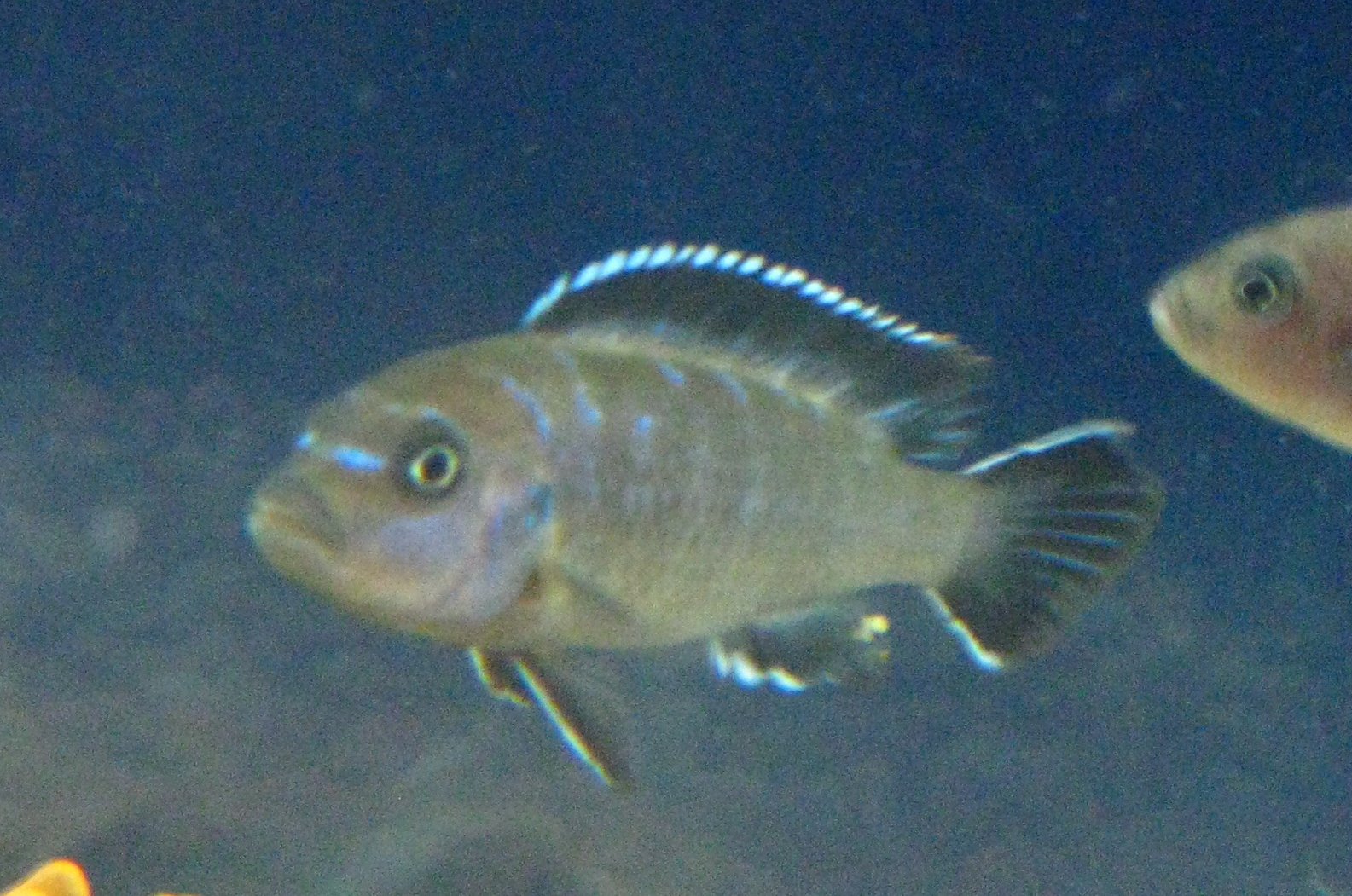 Elongatus Cichlid Related Keywords & Suggestions - Elongatus Cichlid ...