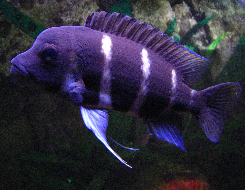 cichlids.com: female frontosa