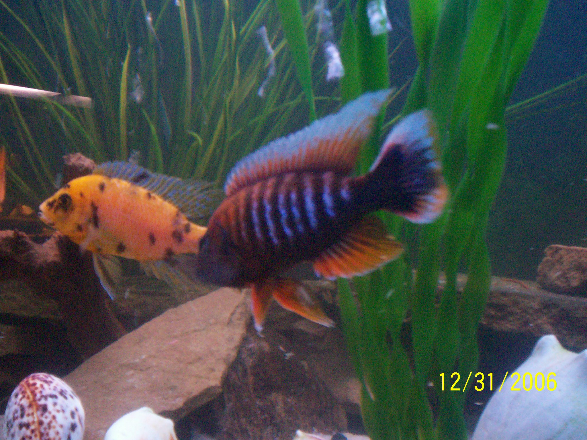 cichlids.com: eureka red & speckled peacock