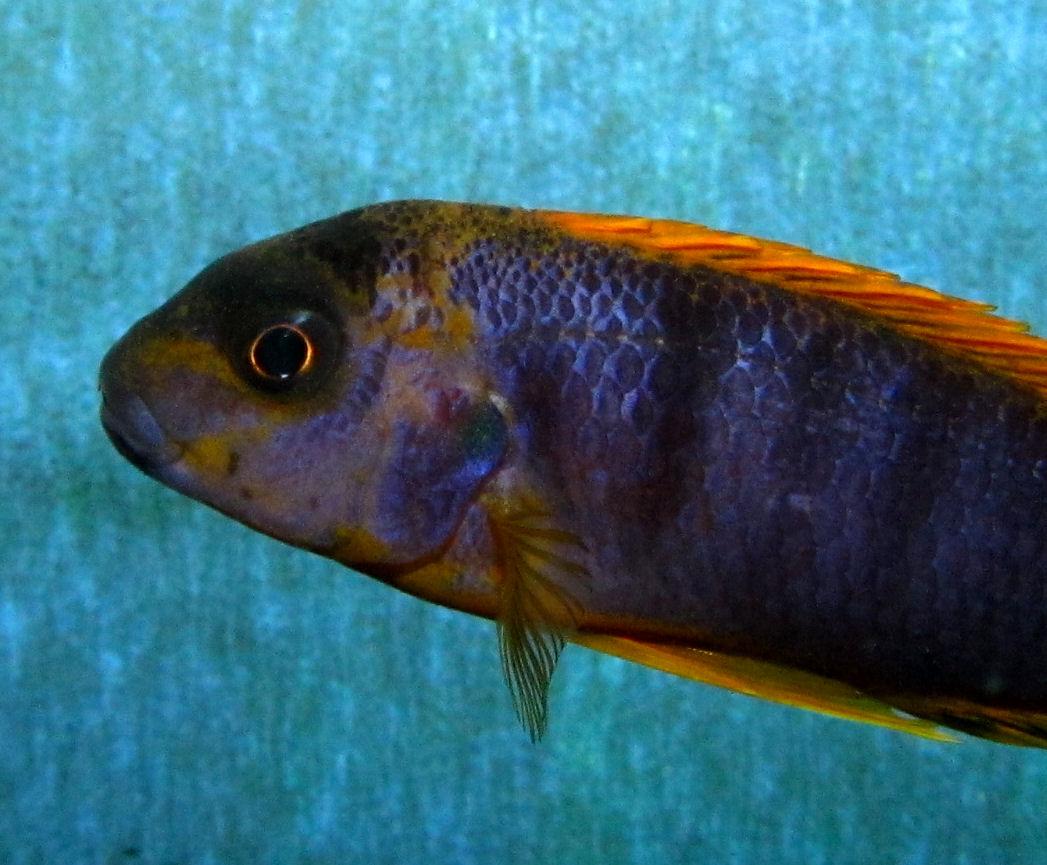 Labidochromis sp. Hongi Is.
