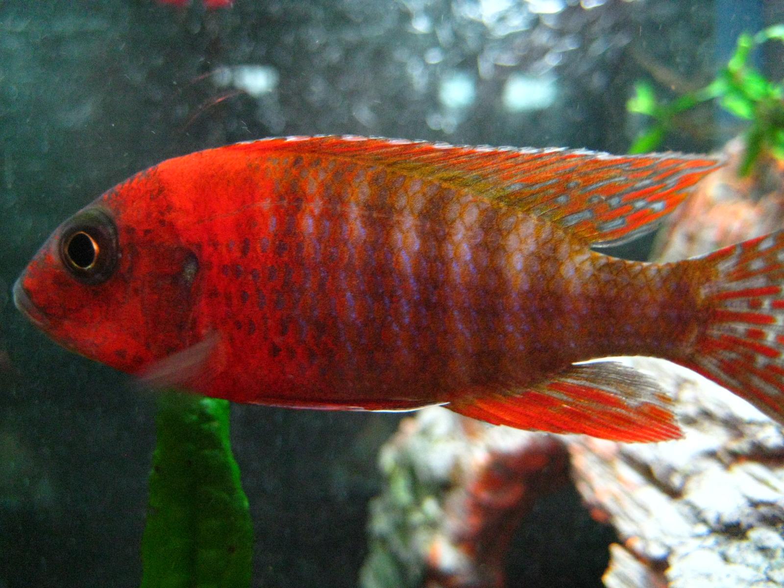 Ruby red cichlid female - photo#1