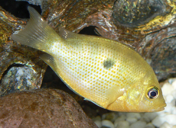 cichlids.com: Etroplus Maculatus (Orange Chromide)
