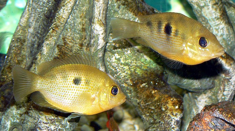 cichlids.com: Etroplus Maculatus (Orange Chromide) pair