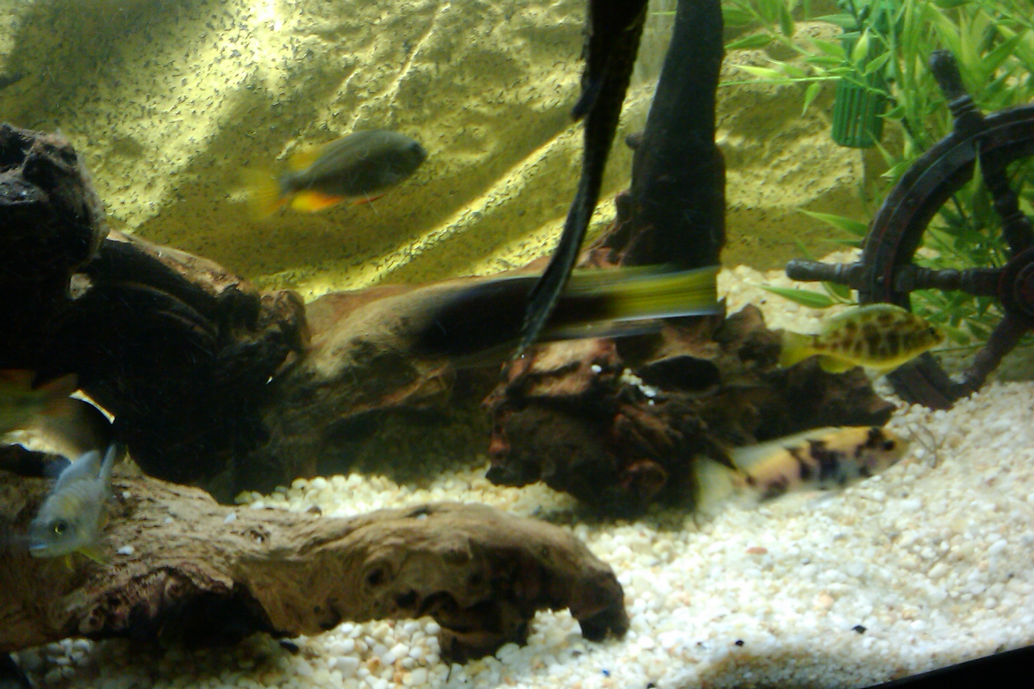 Cichlids Com Tank Examples 75 Gal African Cichlid Tank