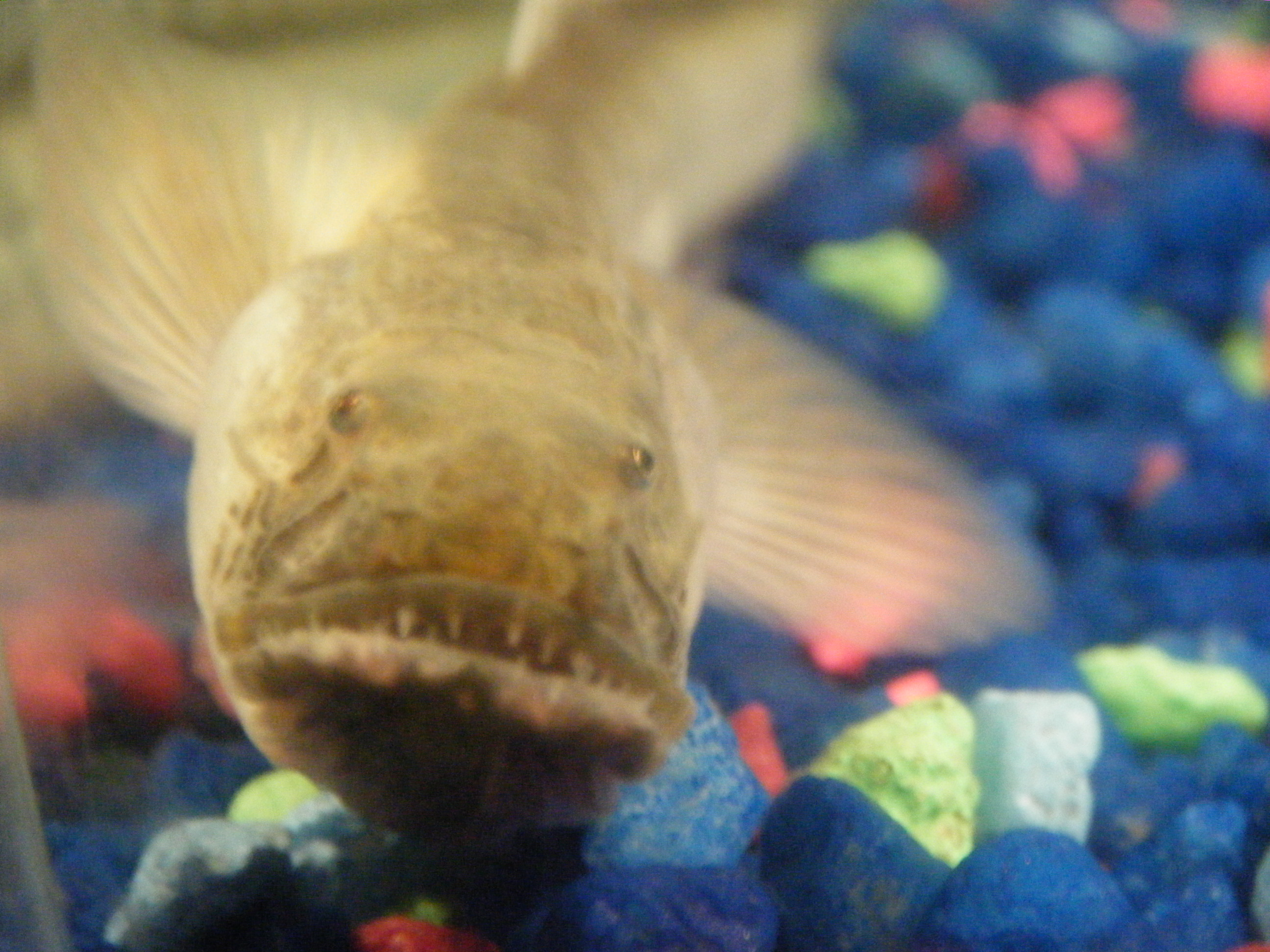 Blue dragon goby for Dragon fish goby