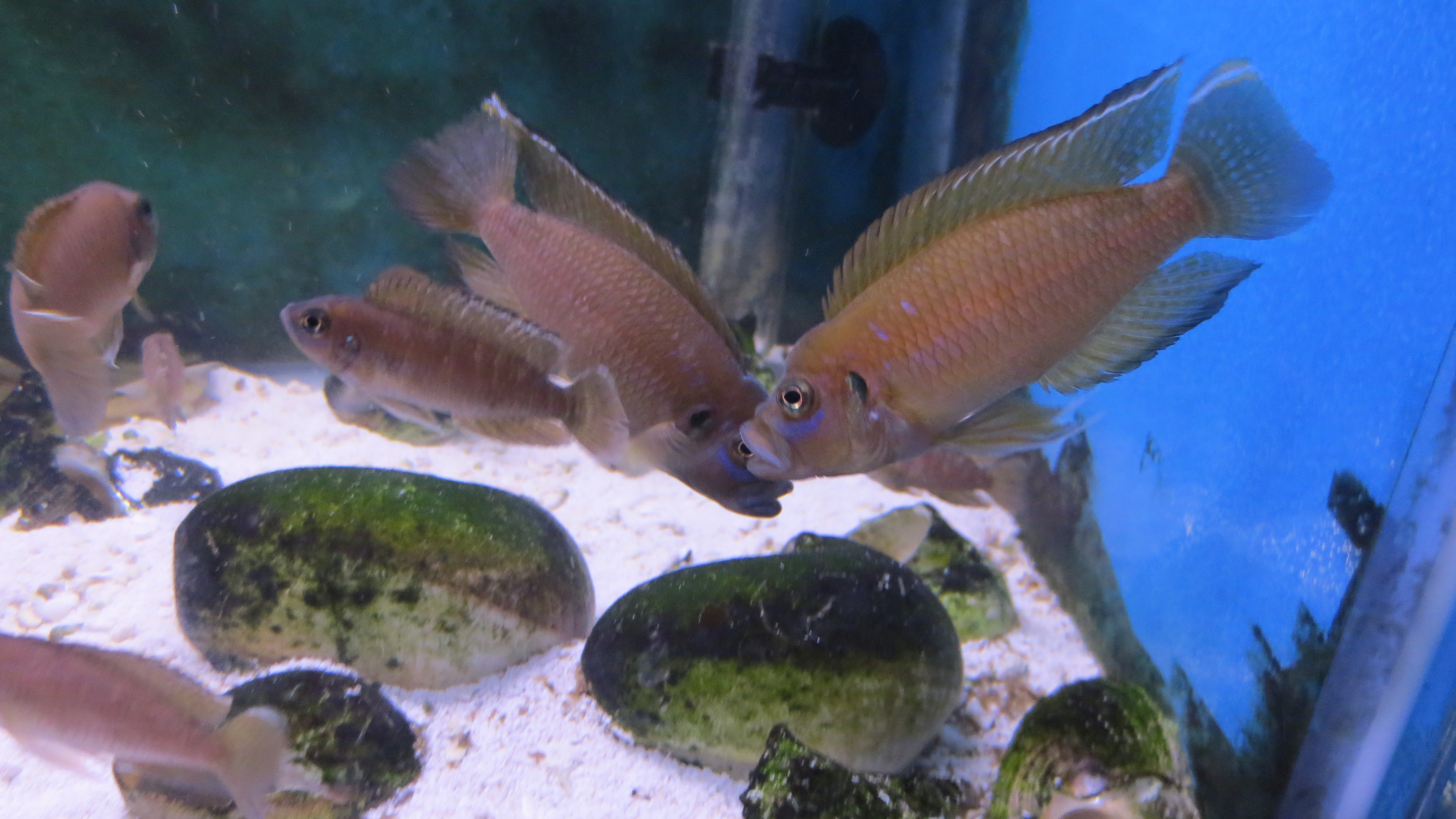 Neolamprologus Brevis cichlids.com: Lamprolo...