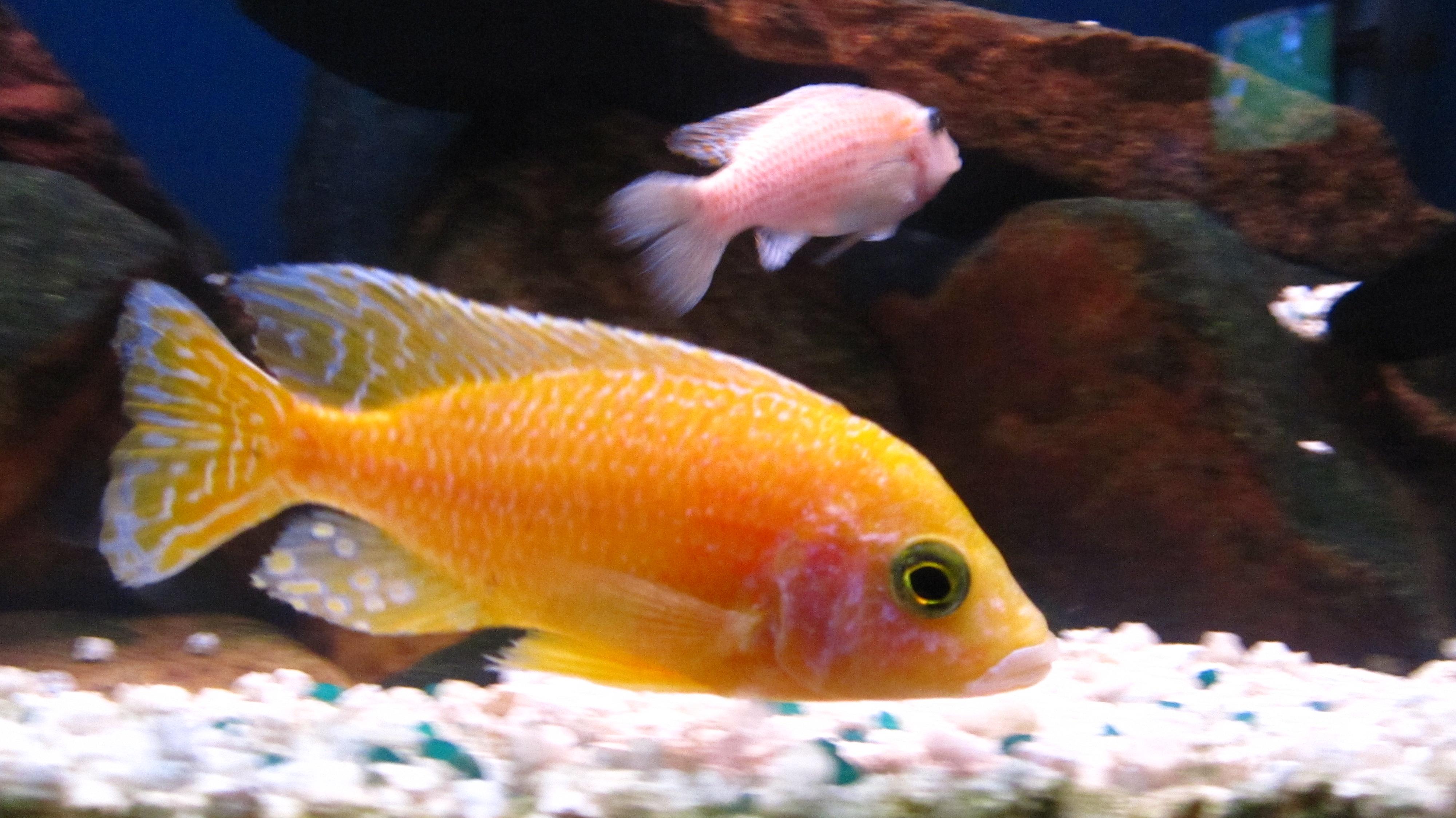 Dragon Blood Peacock Cichlid cichlids.com: gold pea...