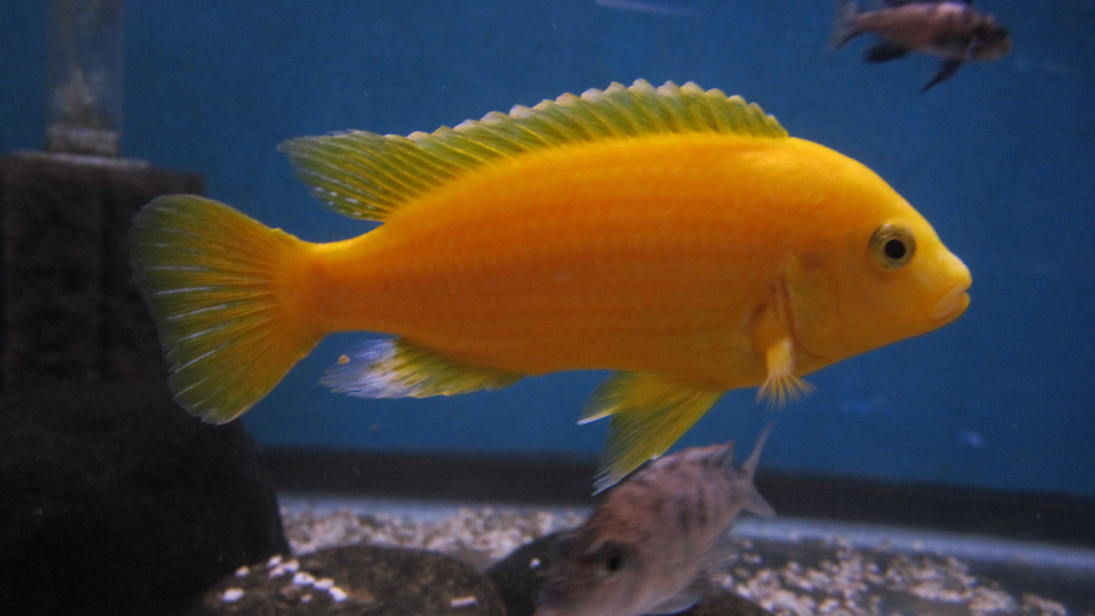 cichlidscom labidochromis caeruleus yellow lab