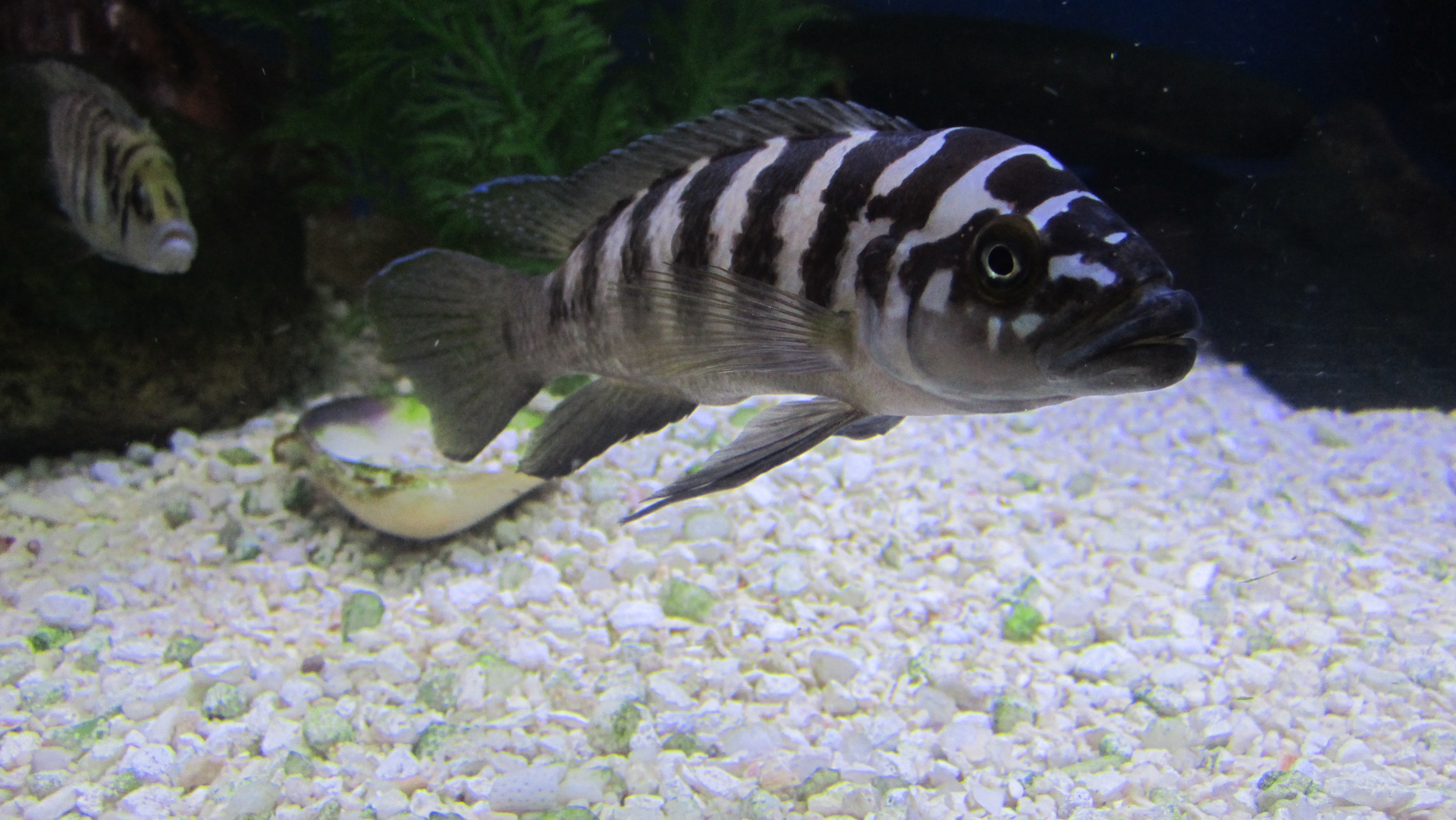 Neolamprologus Cylindricus cichlids.com: N...