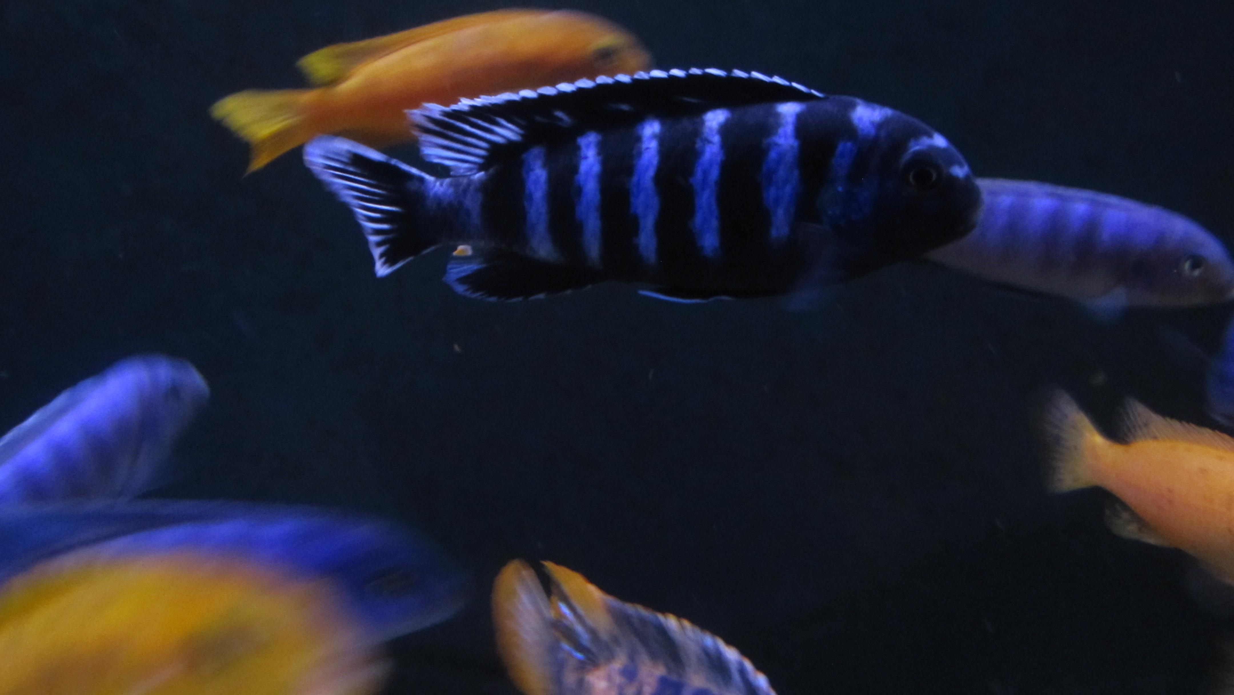 cichlids.com: Pseudotropheus saulosi, coral red