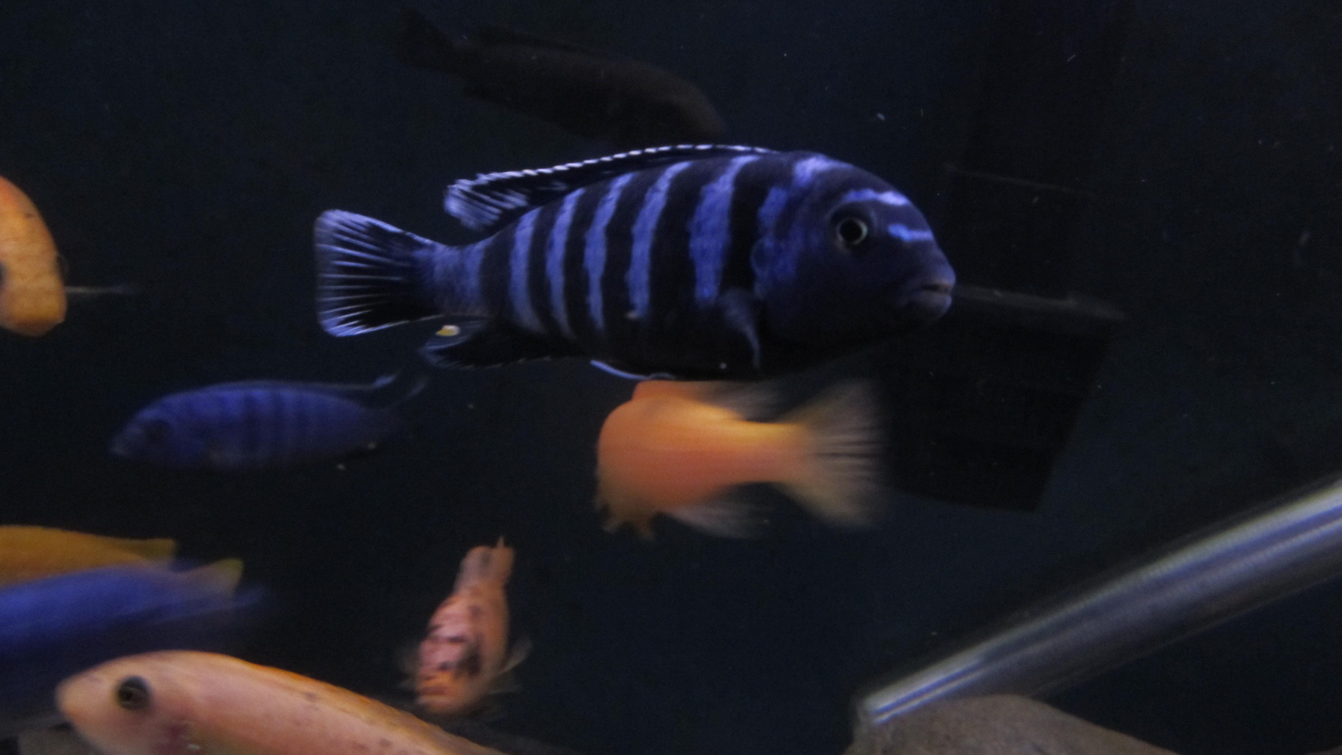 cichlids.com: Pseudotropheus saulosi coral red