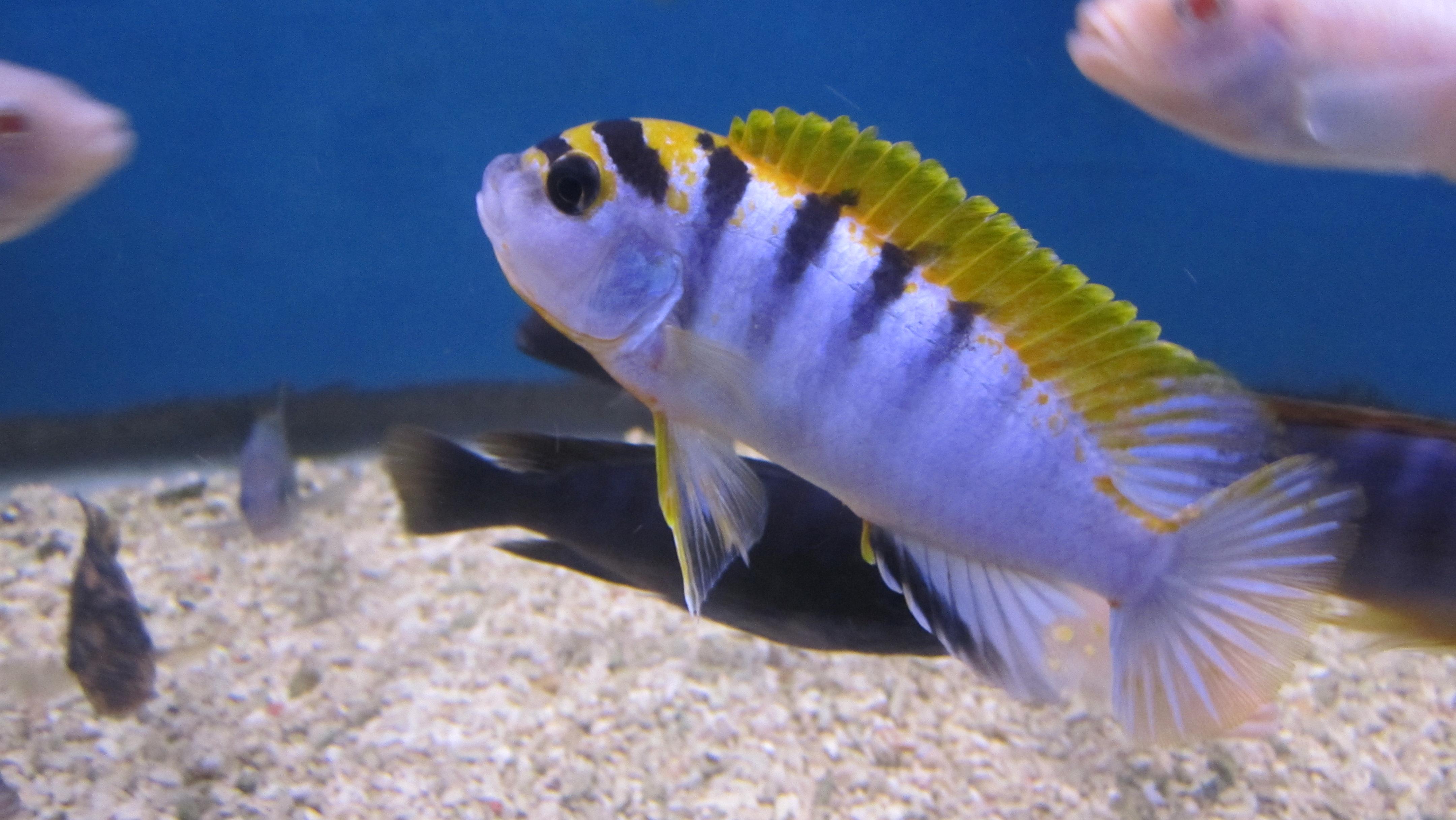 cichlids.com: hongi
