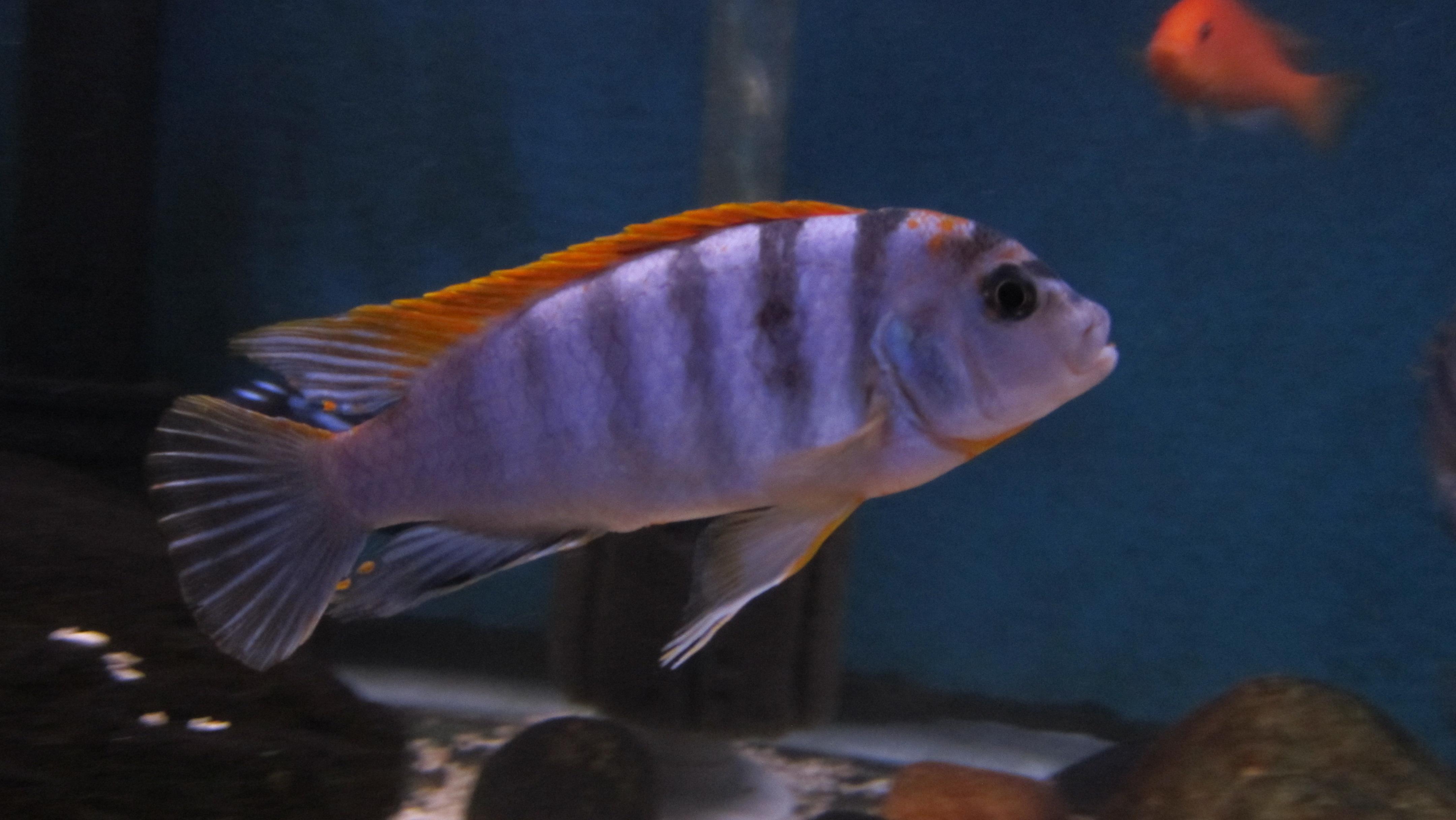cichlids.com: Labidochromis sp.