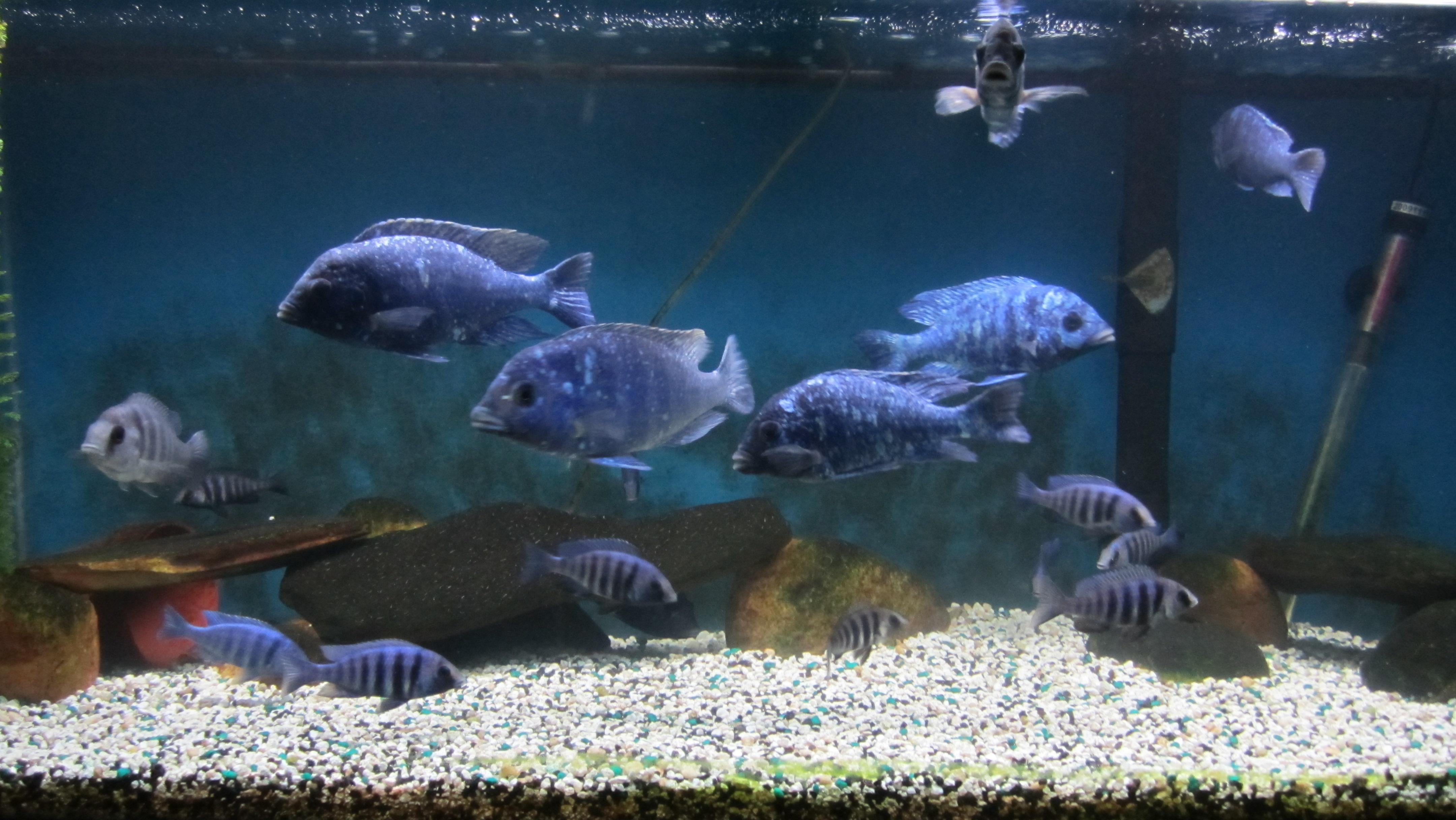 Картинки по запросу placidochromis sp. phenochilus tanzania