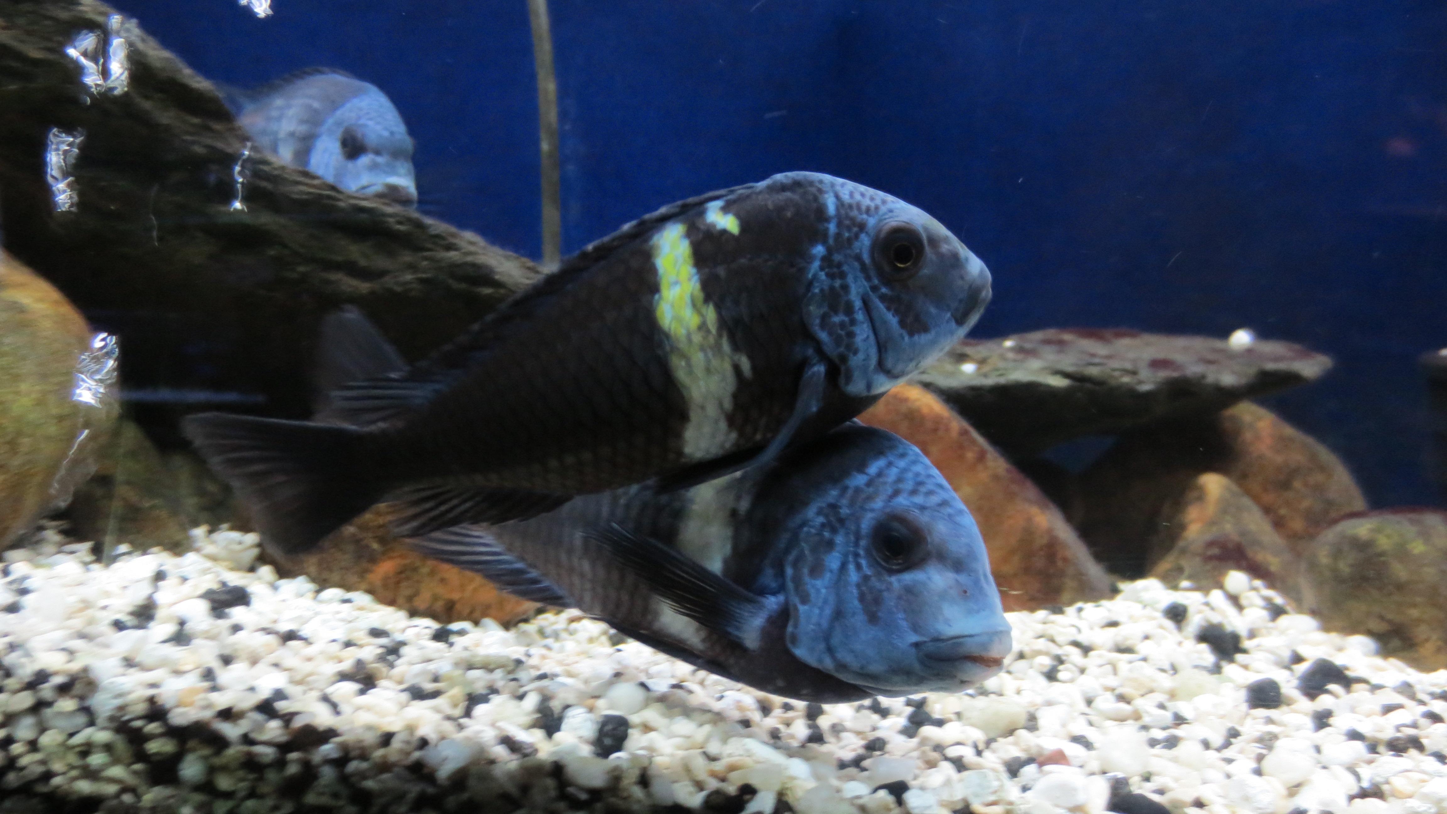 cichlids.com: Tropheus duboisi Maswa