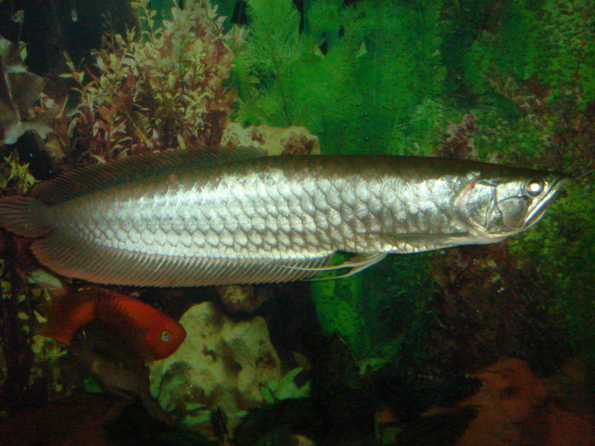 Big Silver Arowana Silver arowana. 15 inches now.