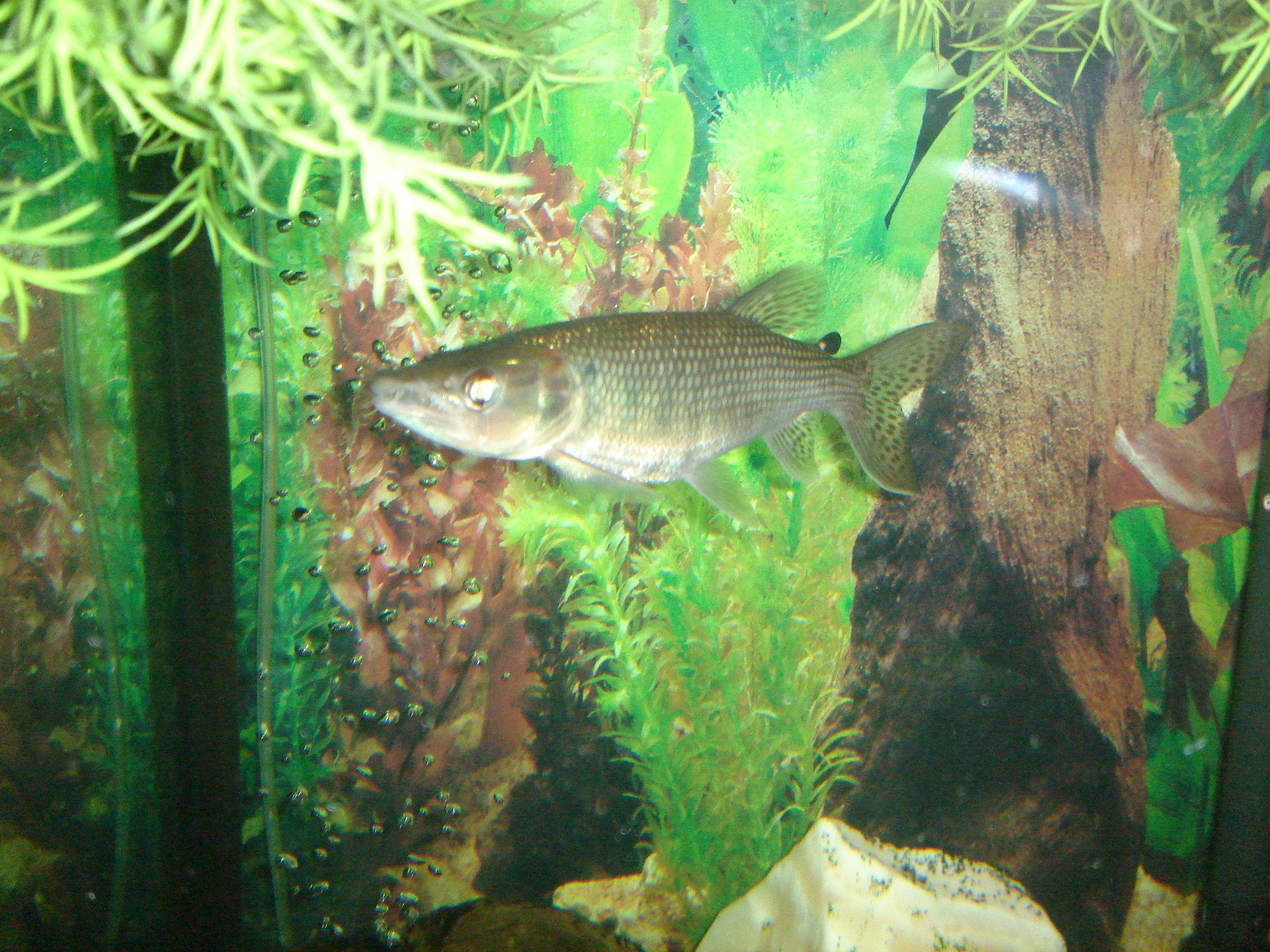 cichlids.com: Red tail barracuda