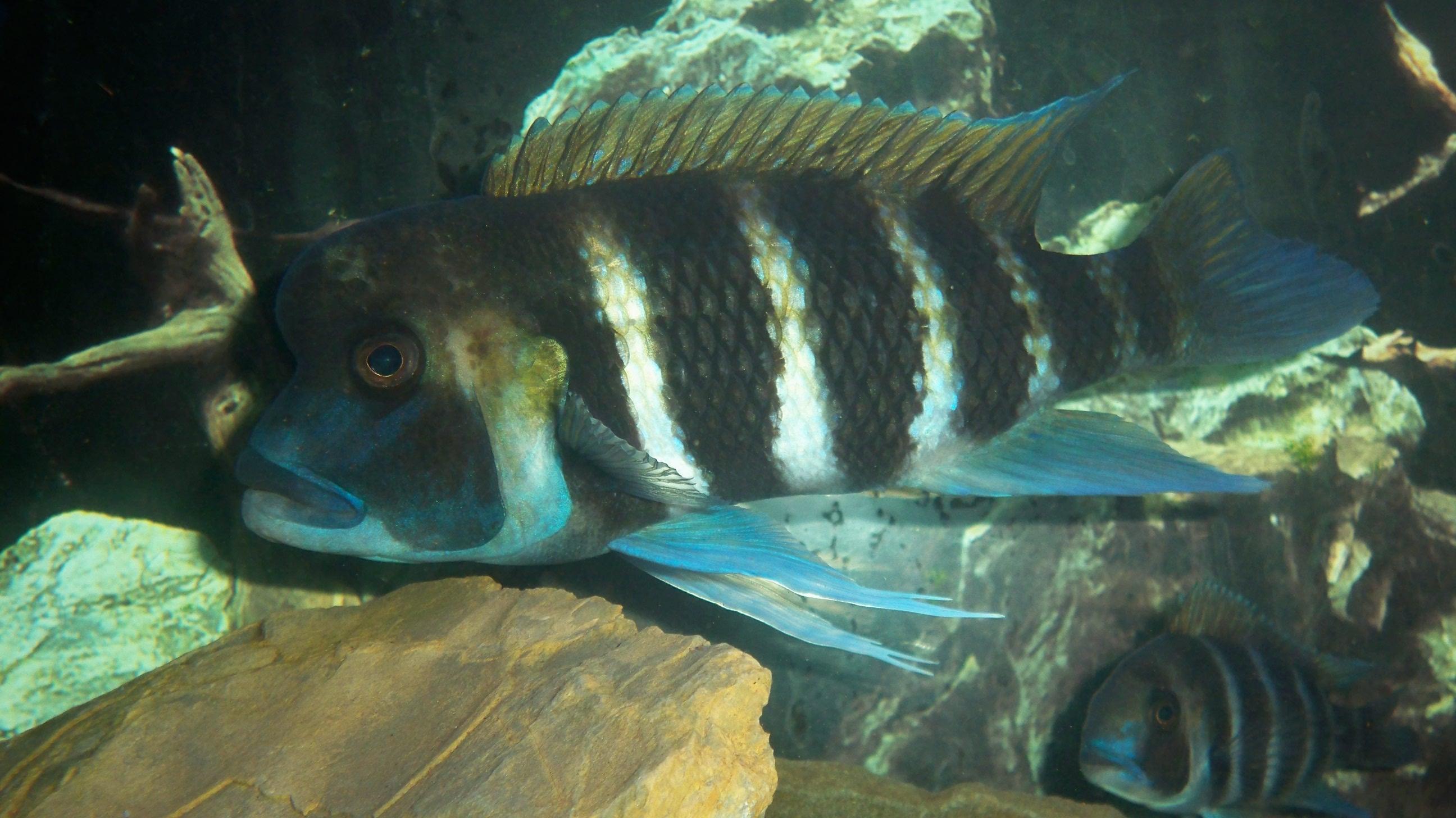 cichlids.com: breeding male frontosa