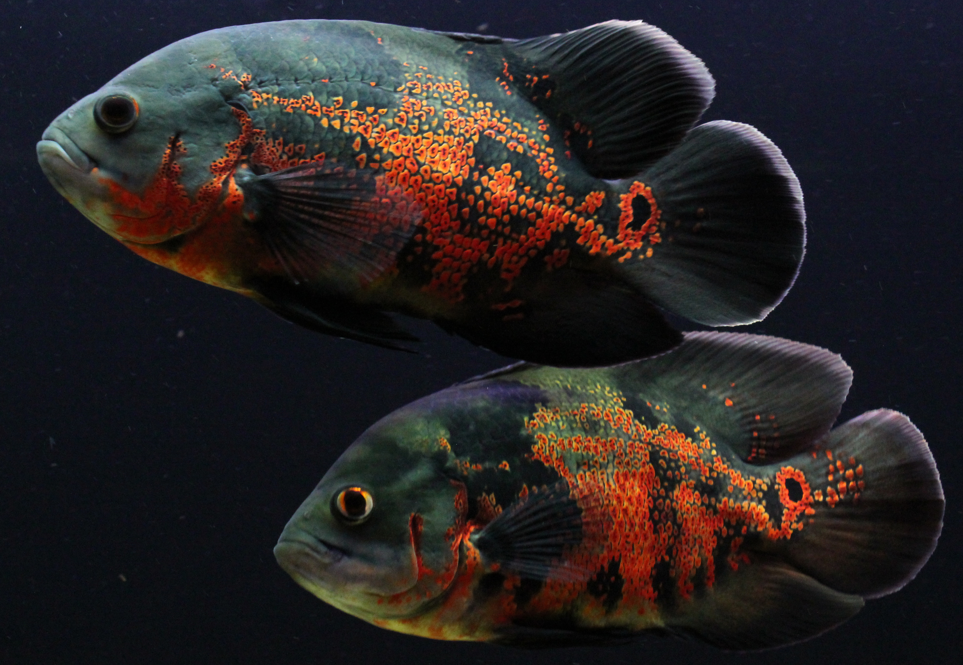 My Green Terror eating one my cichlids in addition Tiger Oscar 67 in addition Red tiger oscar 3 additionally Viewtopic also Both together 4. on oscar cichlid forum