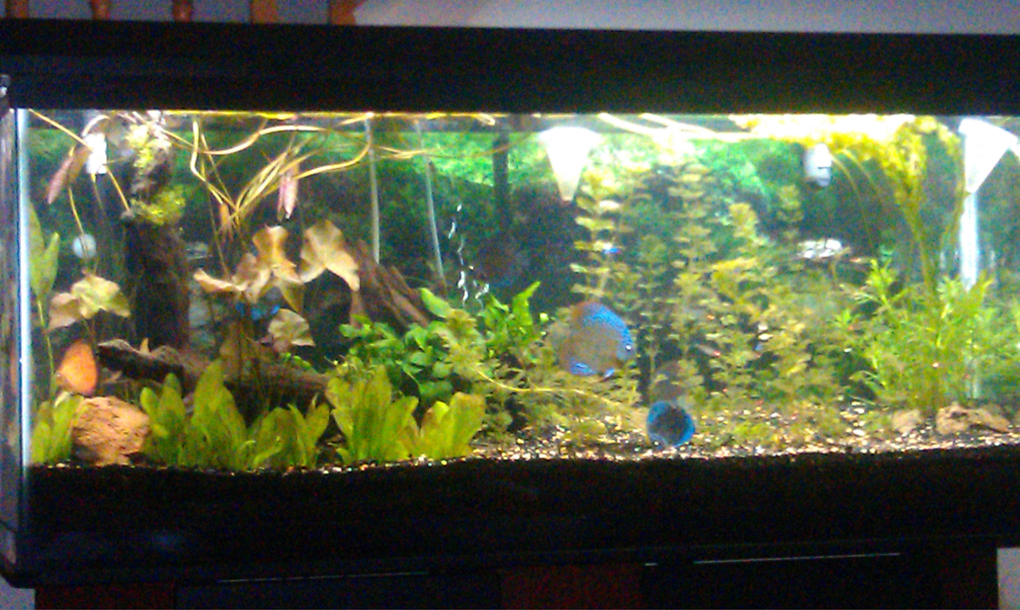 discus fish 10 gallon tank - cichlids com  55 gallon discus tank 2017