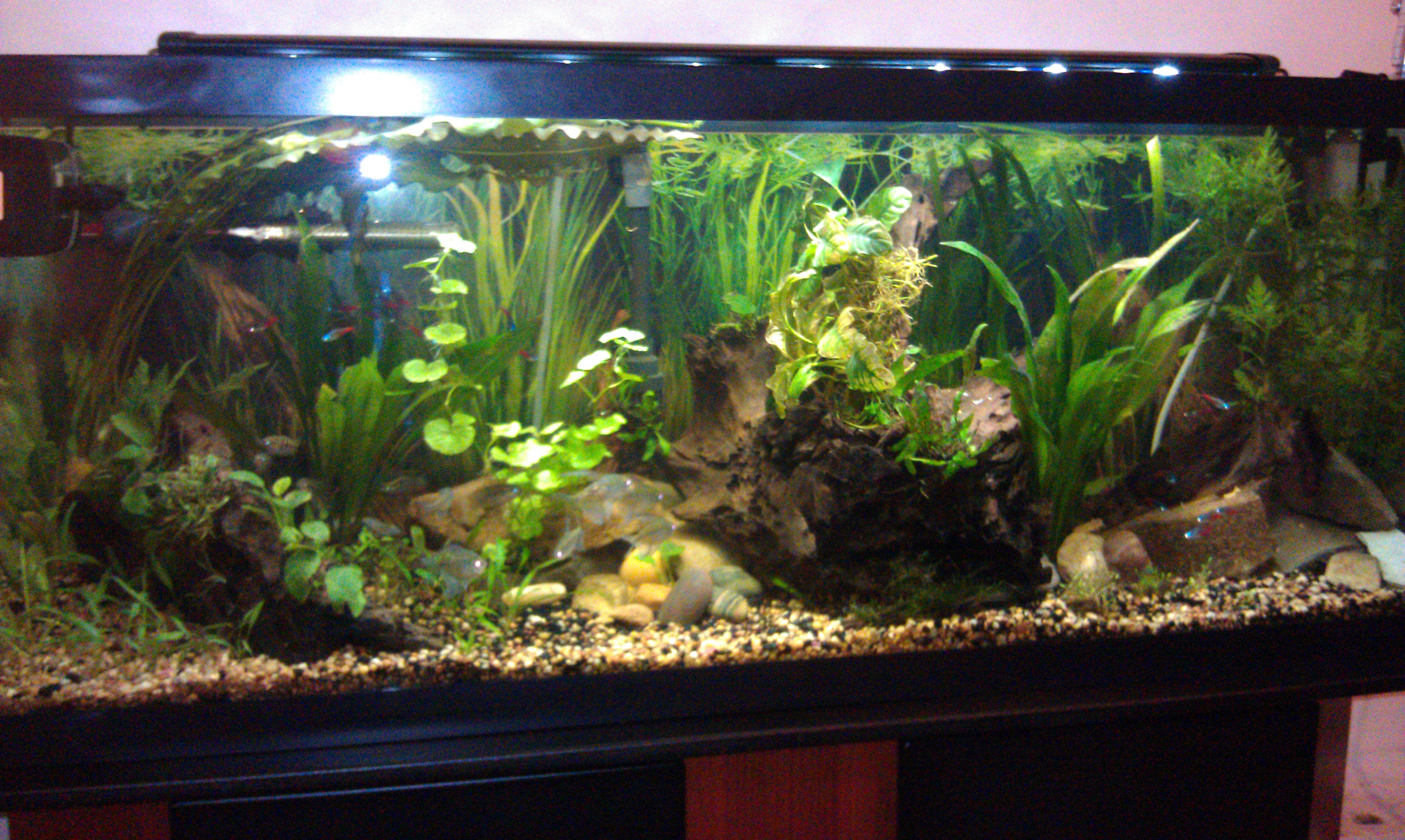 cichlids com  new 50 gallon planted tank