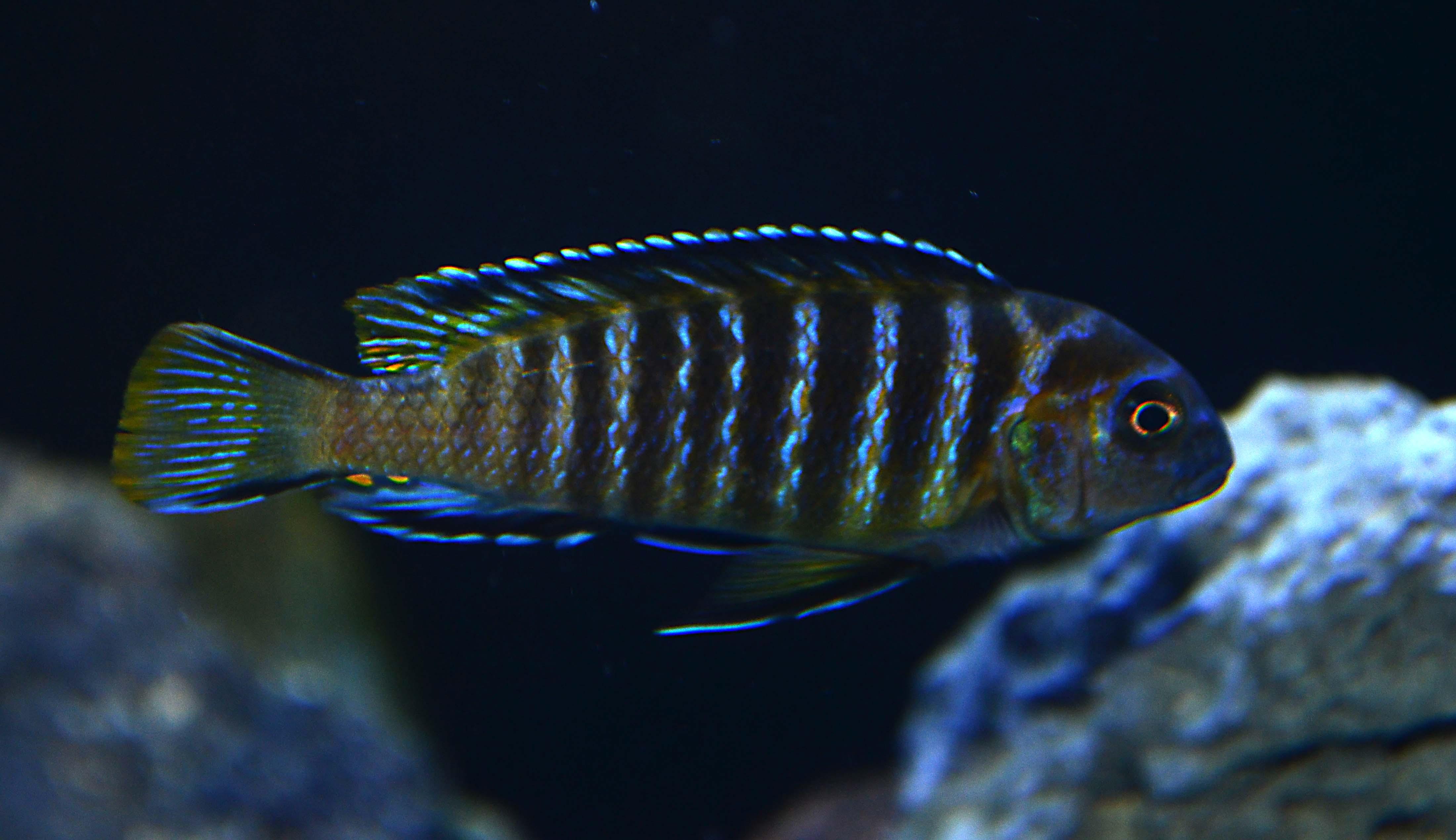 Rearing larvae of pseudotropheus fridmani