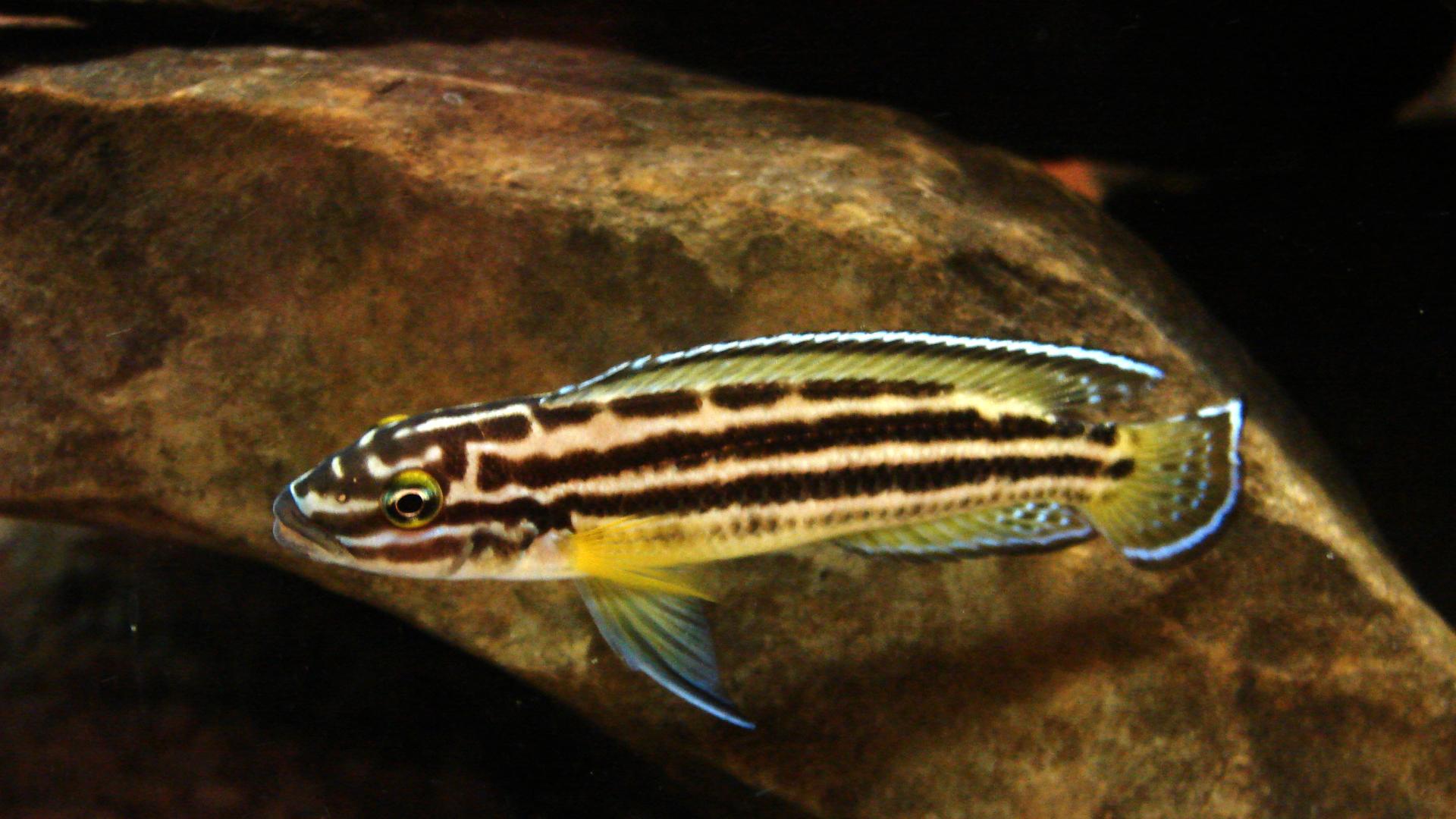 Julidochromis Regani Kipili Julidochromis Regani